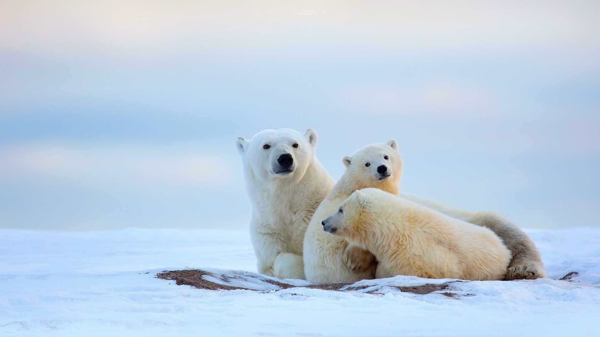 Download full hd Polar Bear computer background ID:359775 for free