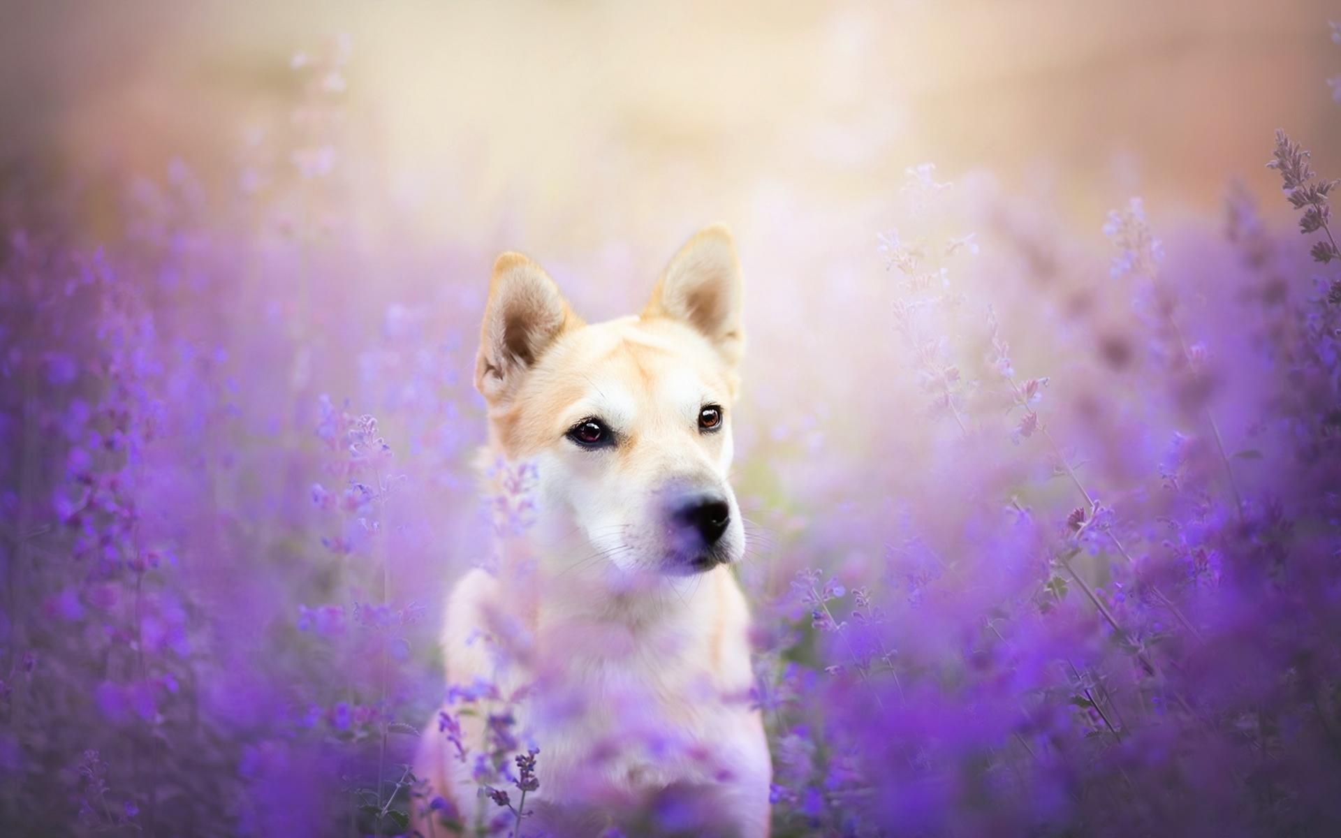 Awesome Shiba Inu free wallpaper ID:125939 for hd 1920x1200 PC