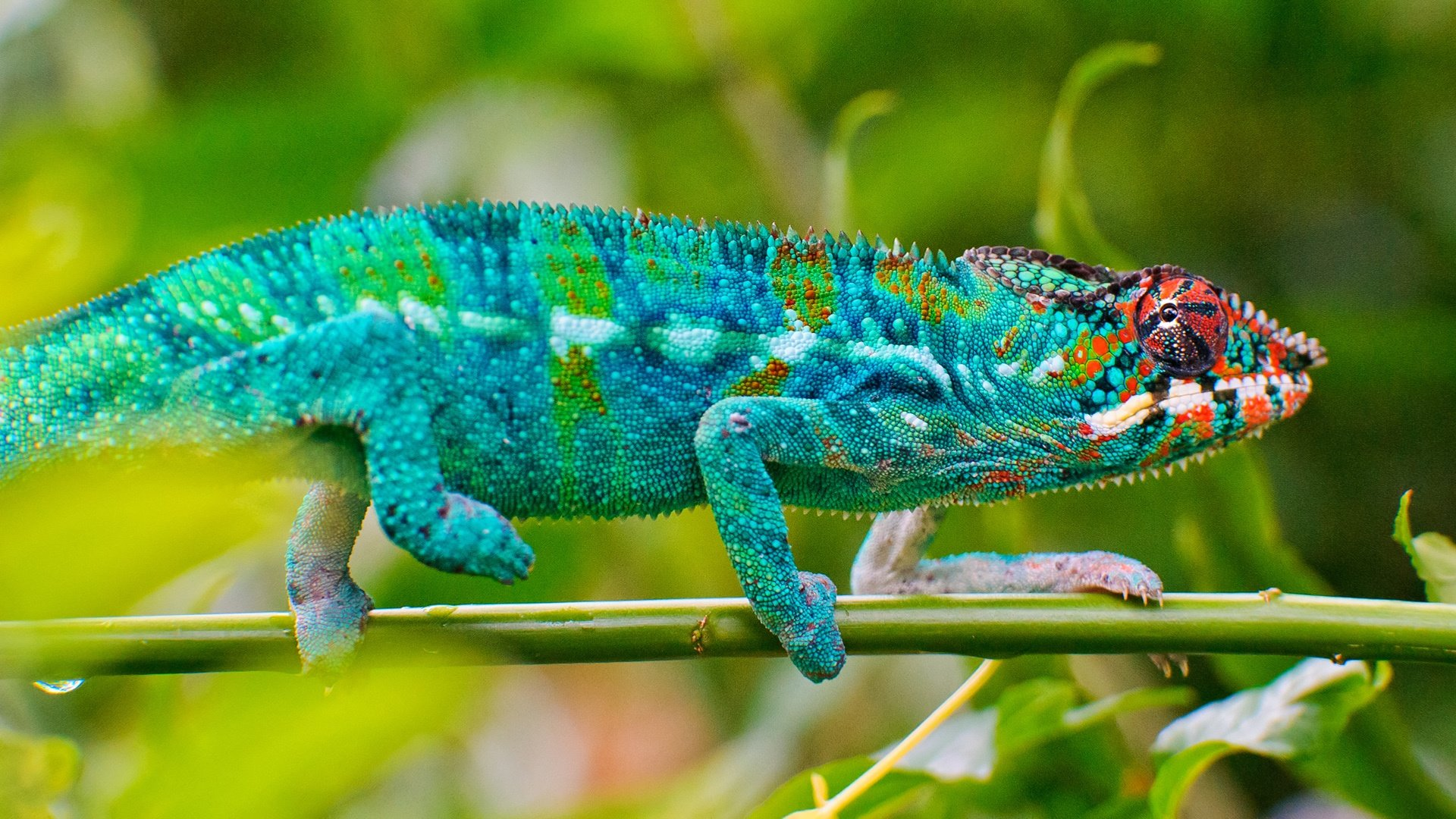 Awesome Chameleon free wallpaper ID:462488 for hd 1920x1080 desktop