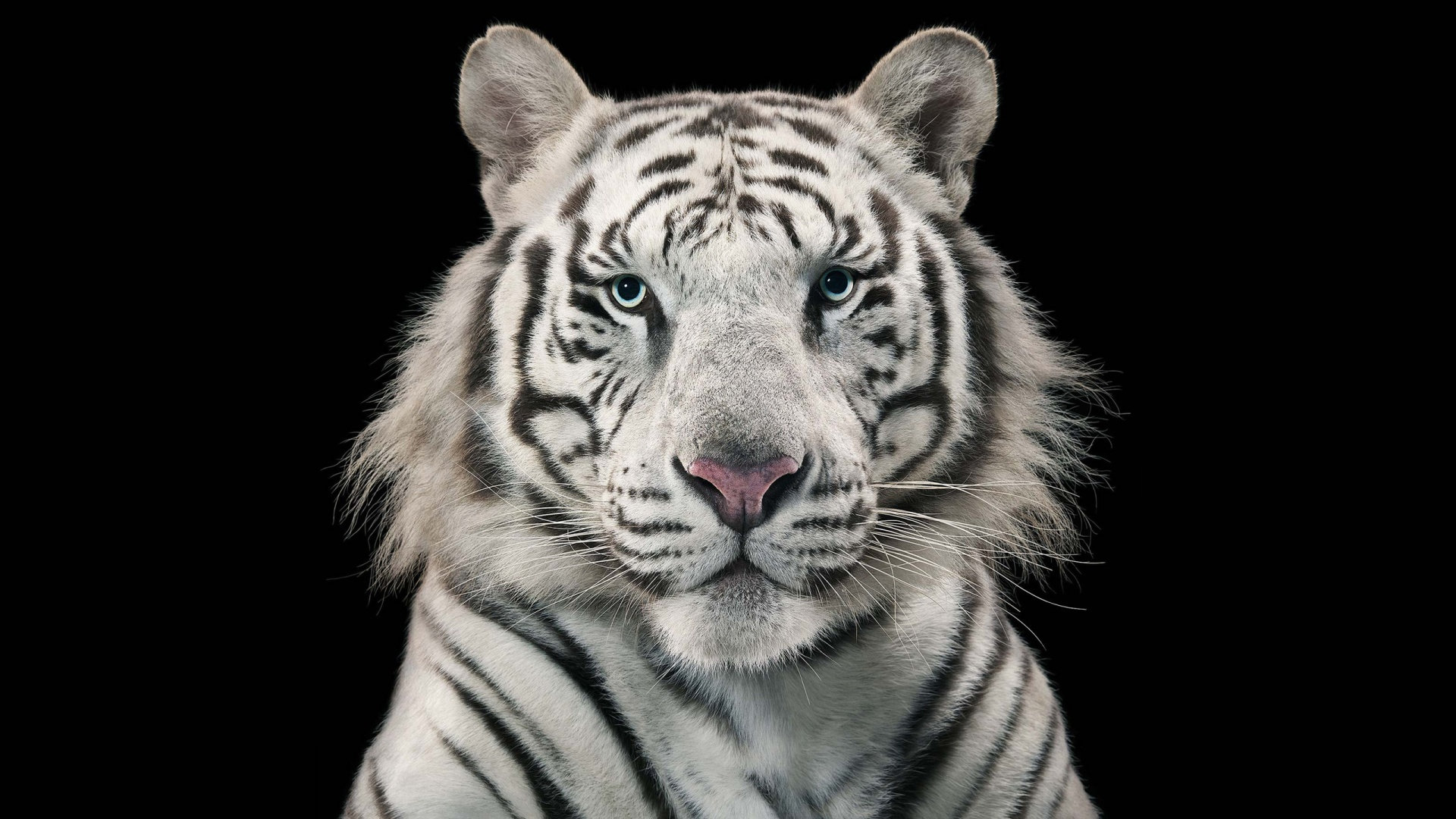 Free White Tiger high quality background ID:174902 for full hd 1080p computer