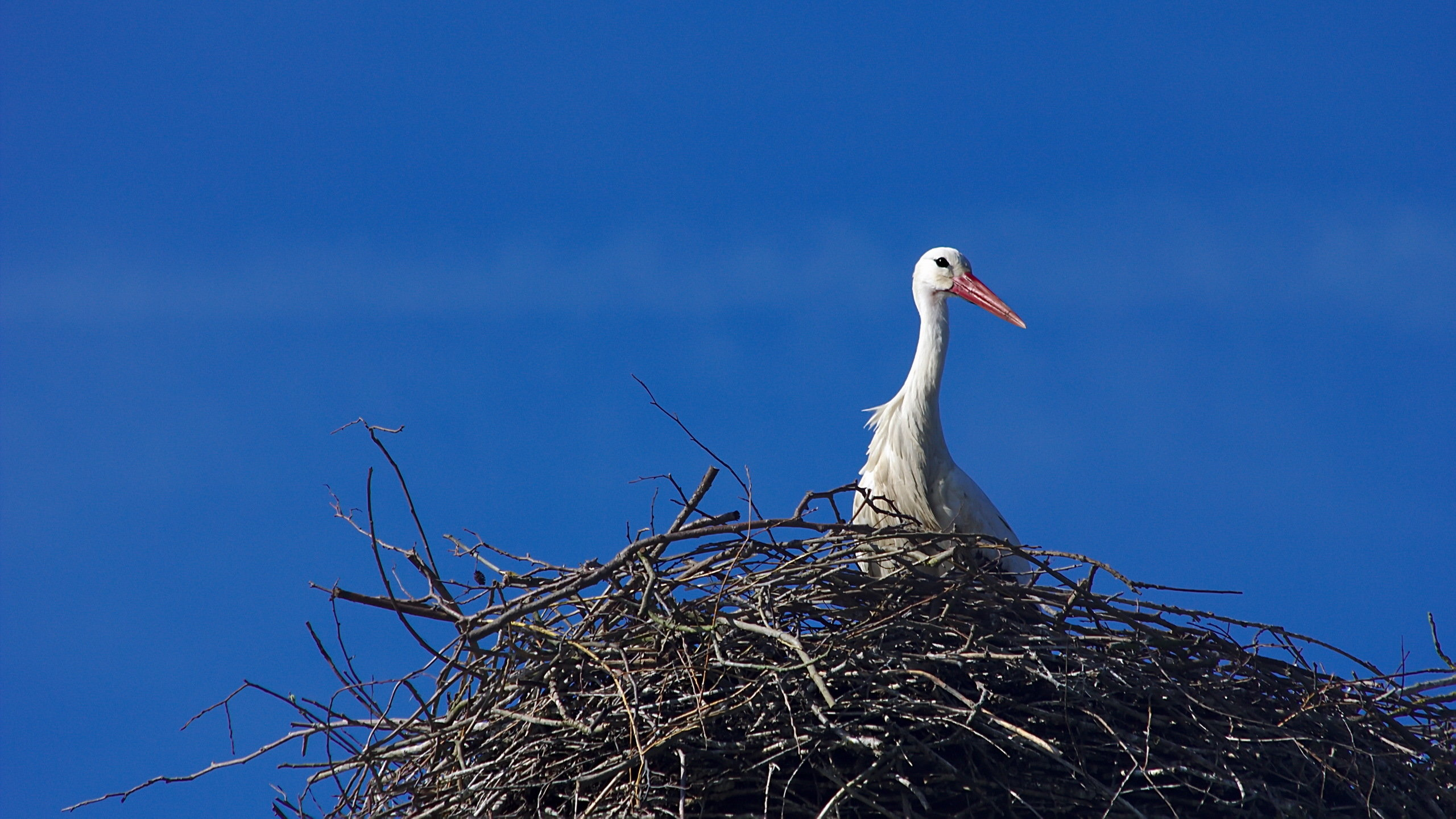 Awesome White Stork free background ID:9606 for hd 2560x1440 PC
