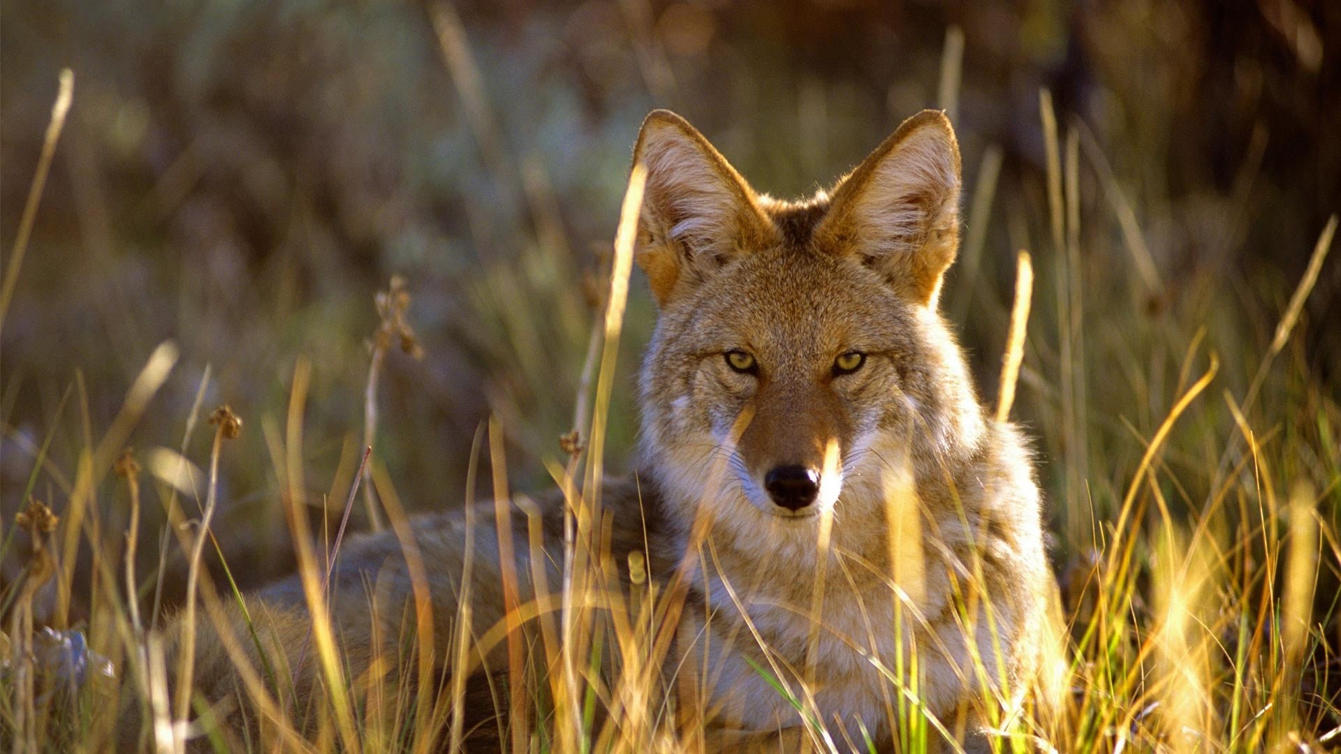 Free download Coyote wallpaper ID:357093 1080p for PC