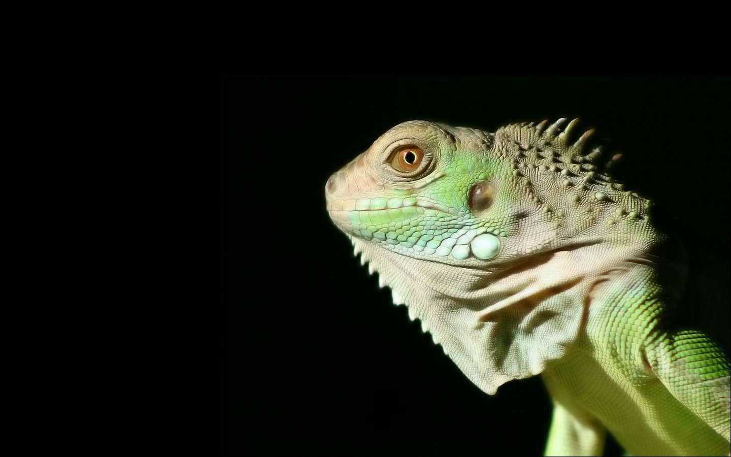 High resolution Iguana hd 1440x900 background ID:380985 for PC