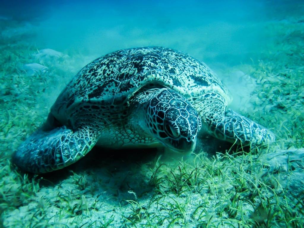Download hd 1024x768 Sea Turtle computer wallpaper ID:150745 for free
