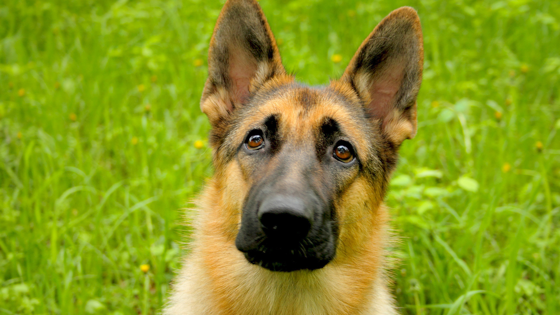Awesome German Shepherd free background ID:111199 for hd 1080p computer