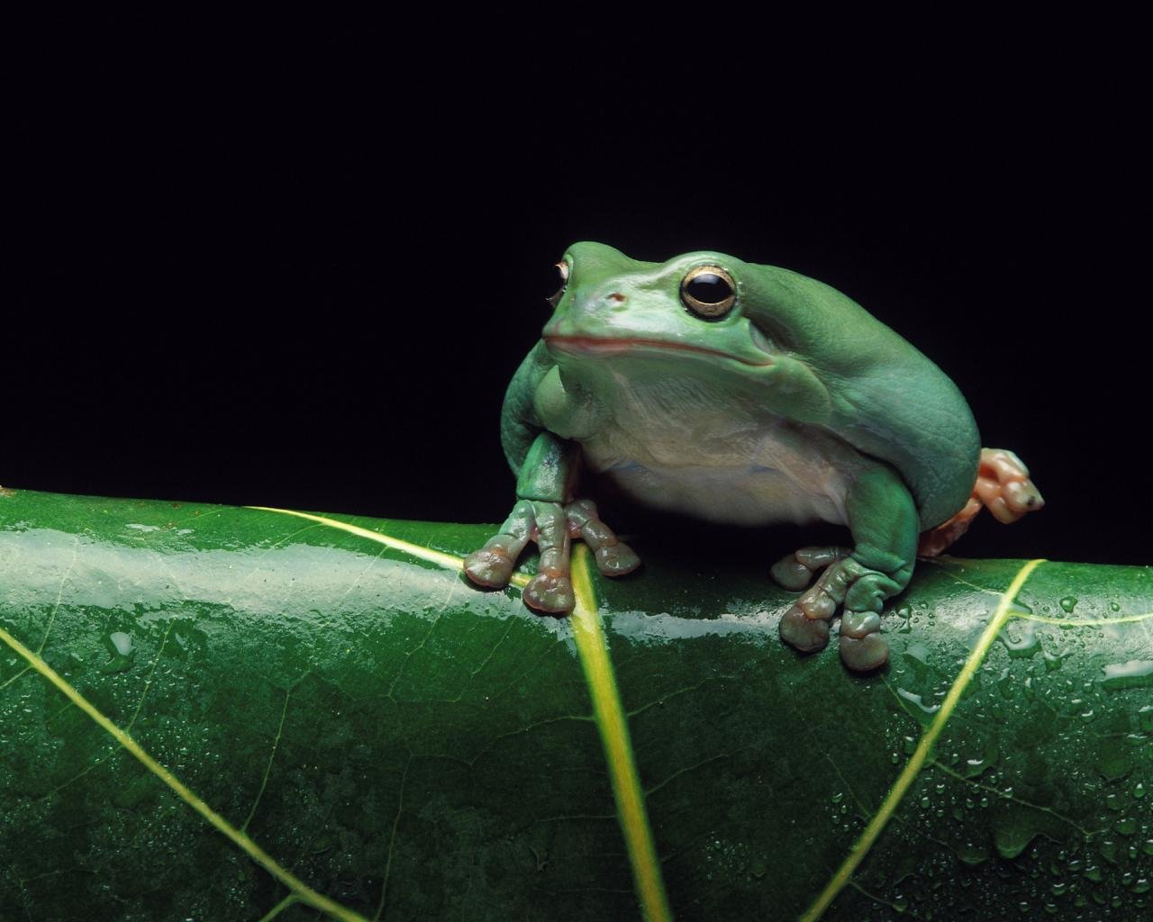 High resolution Tree Frog hd 1280x1024 wallpaper ID:385838 for PC