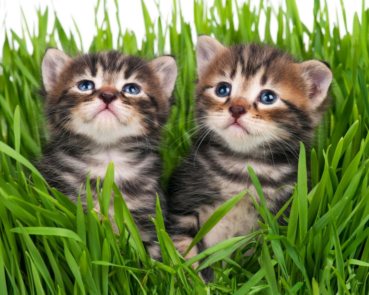 Free Kitten high quality background ID:425231 for hd 1280x1024 desktop