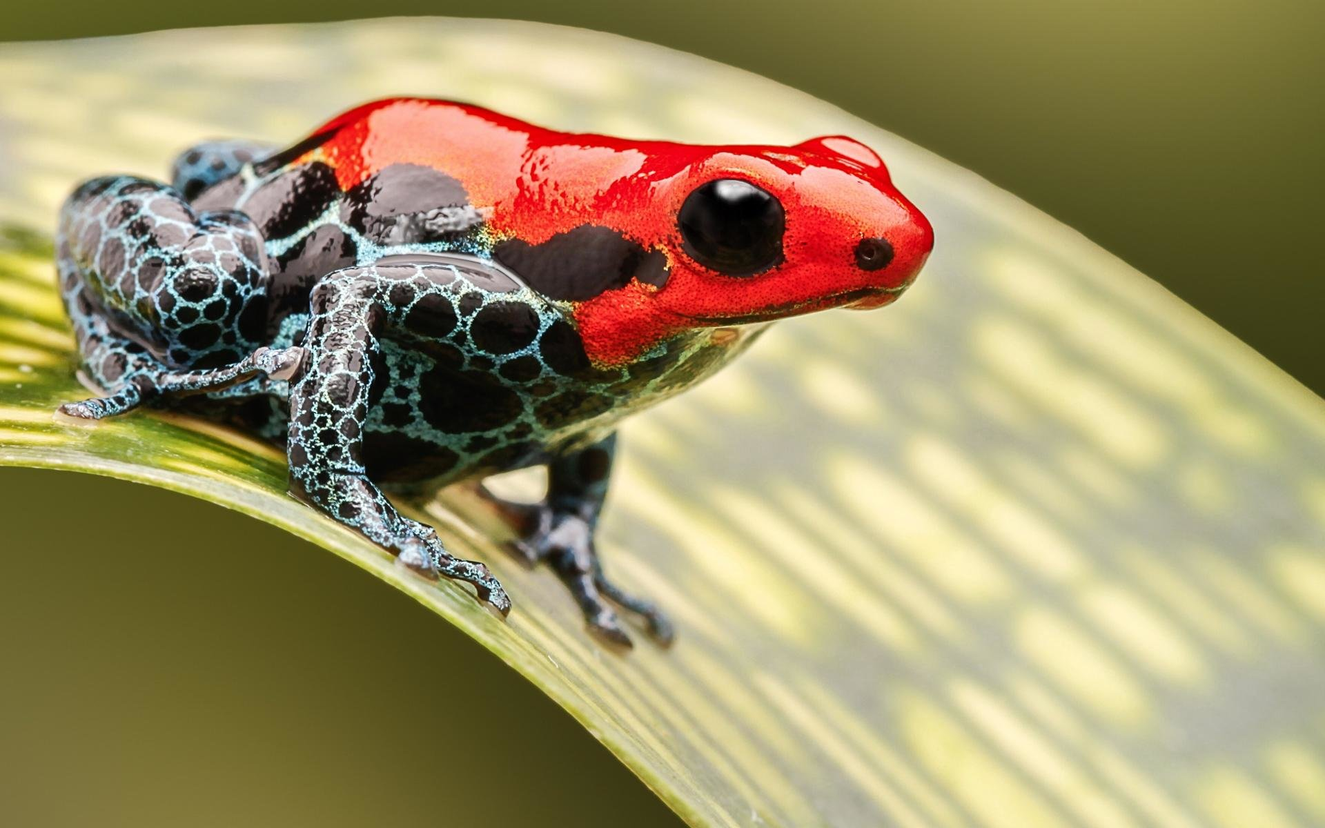 Download hd 1920x1200 Poison Dart Frog desktop wallpaper ID:253528 for free