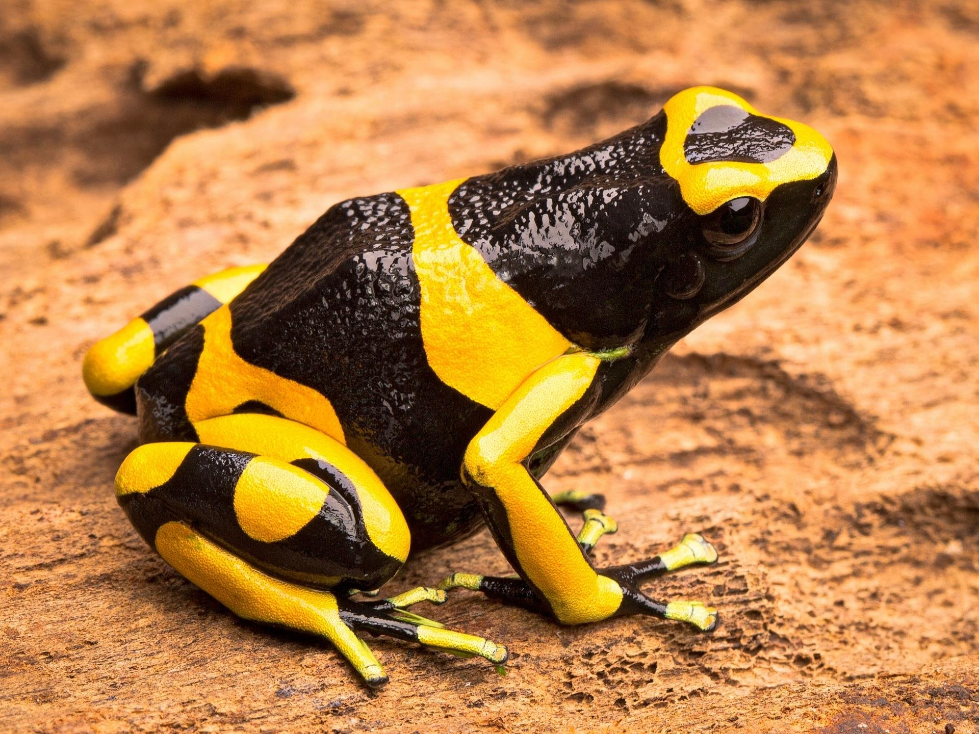 High resolution Poison Dart Frog hd 1920x1440 wallpaper ID:253511 for PC