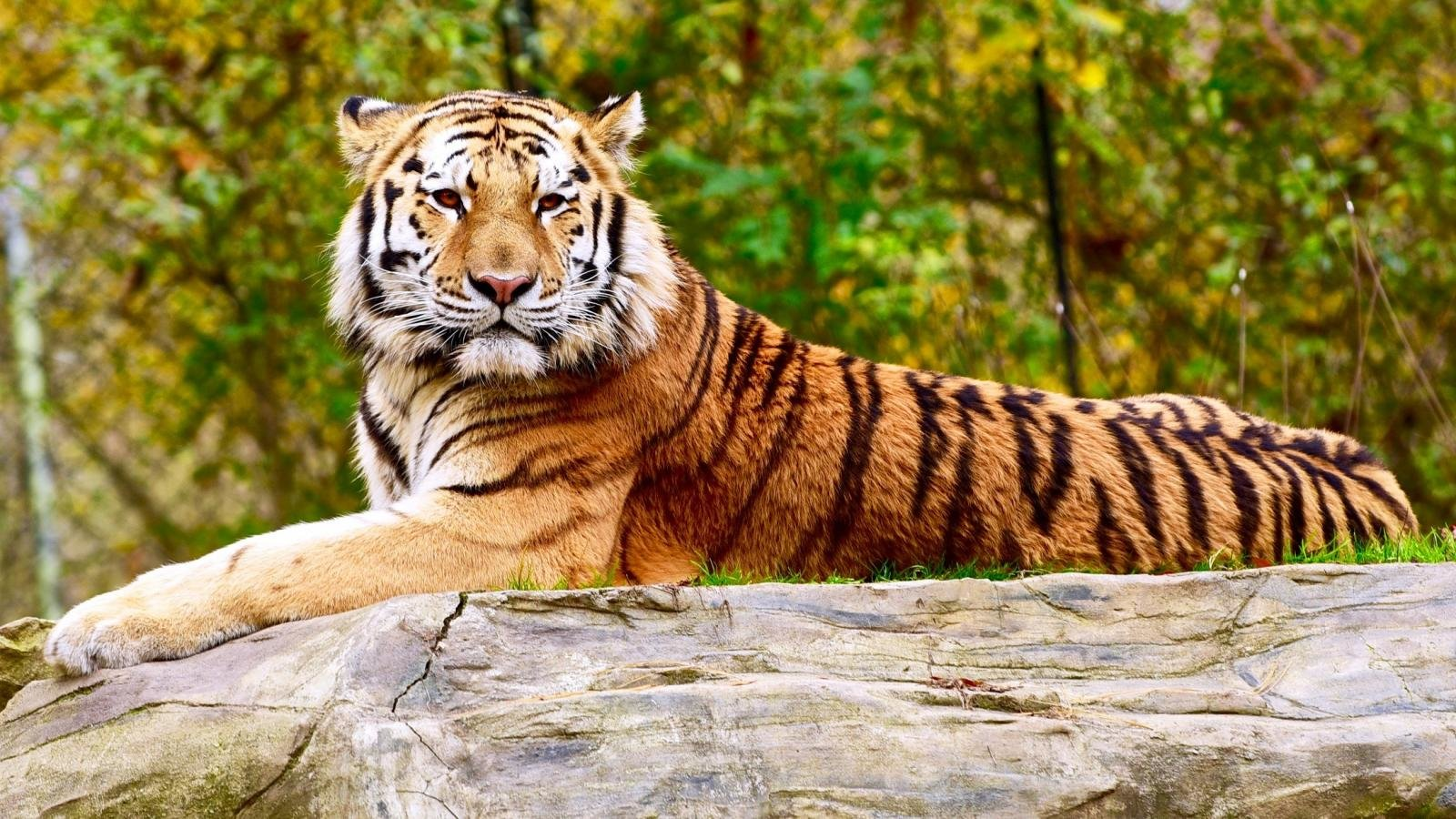 Free Tiger high quality wallpaper ID:116201 for hd 1600x900 computer