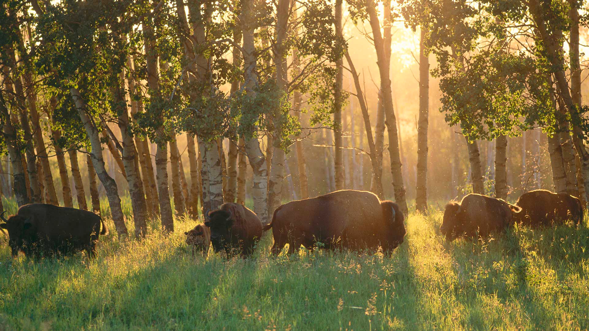 Awesome Buffalo free background ID:378998 for hd 1920x1080 PC