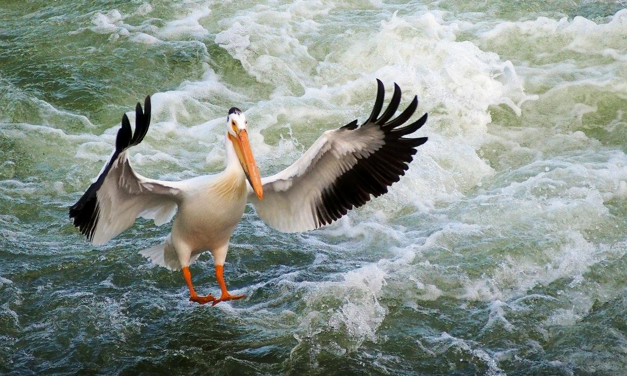 Awesome Pelican free background ID:189549 for hd 1280x768 PC