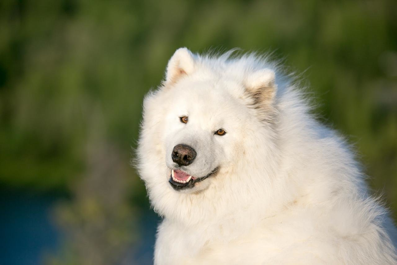 Free download Samoyed wallpaper ID:63150 hd 1280x854 for desktop
