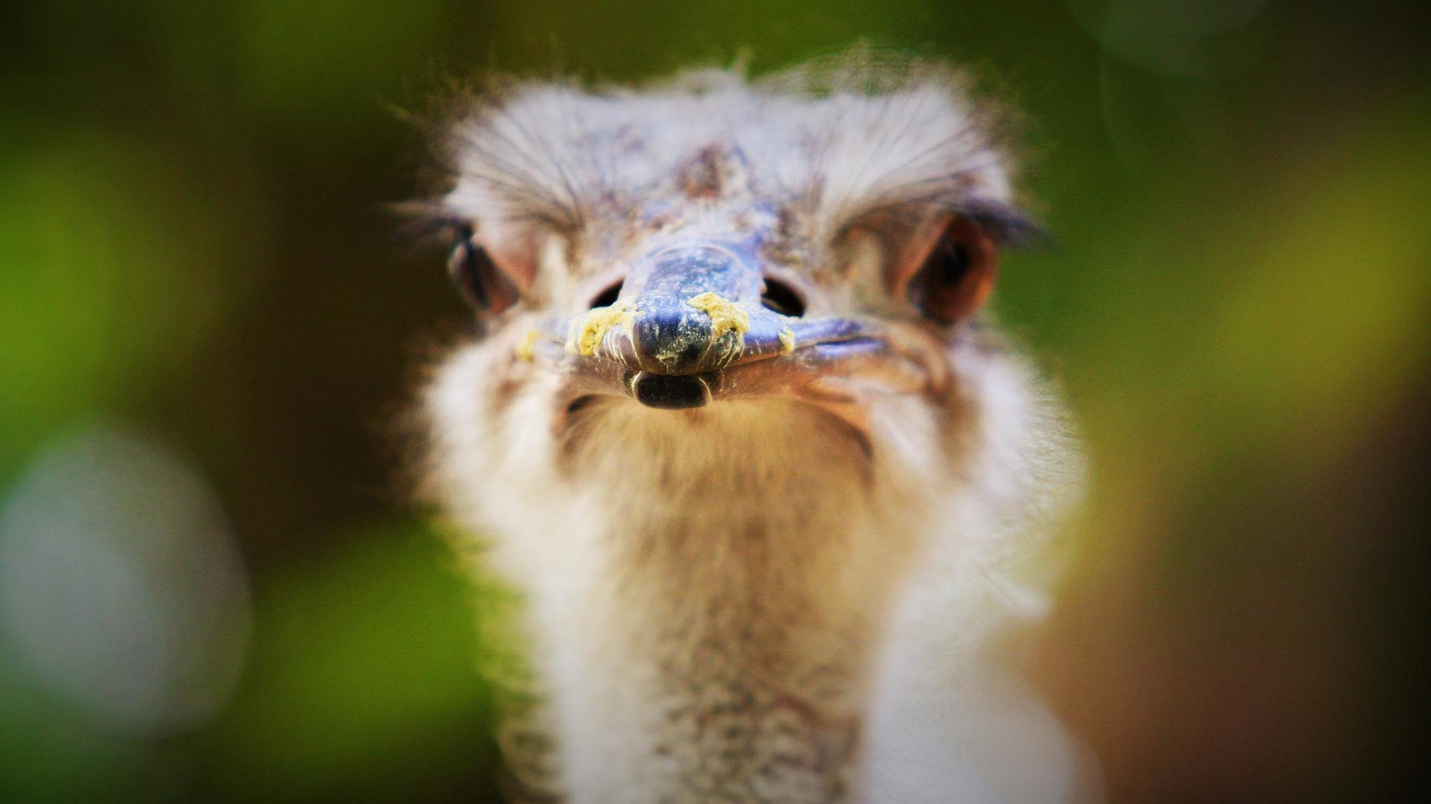 Best Ostrich wallpaper ID:290166 for High Resolution hd 2048x1152 desktop