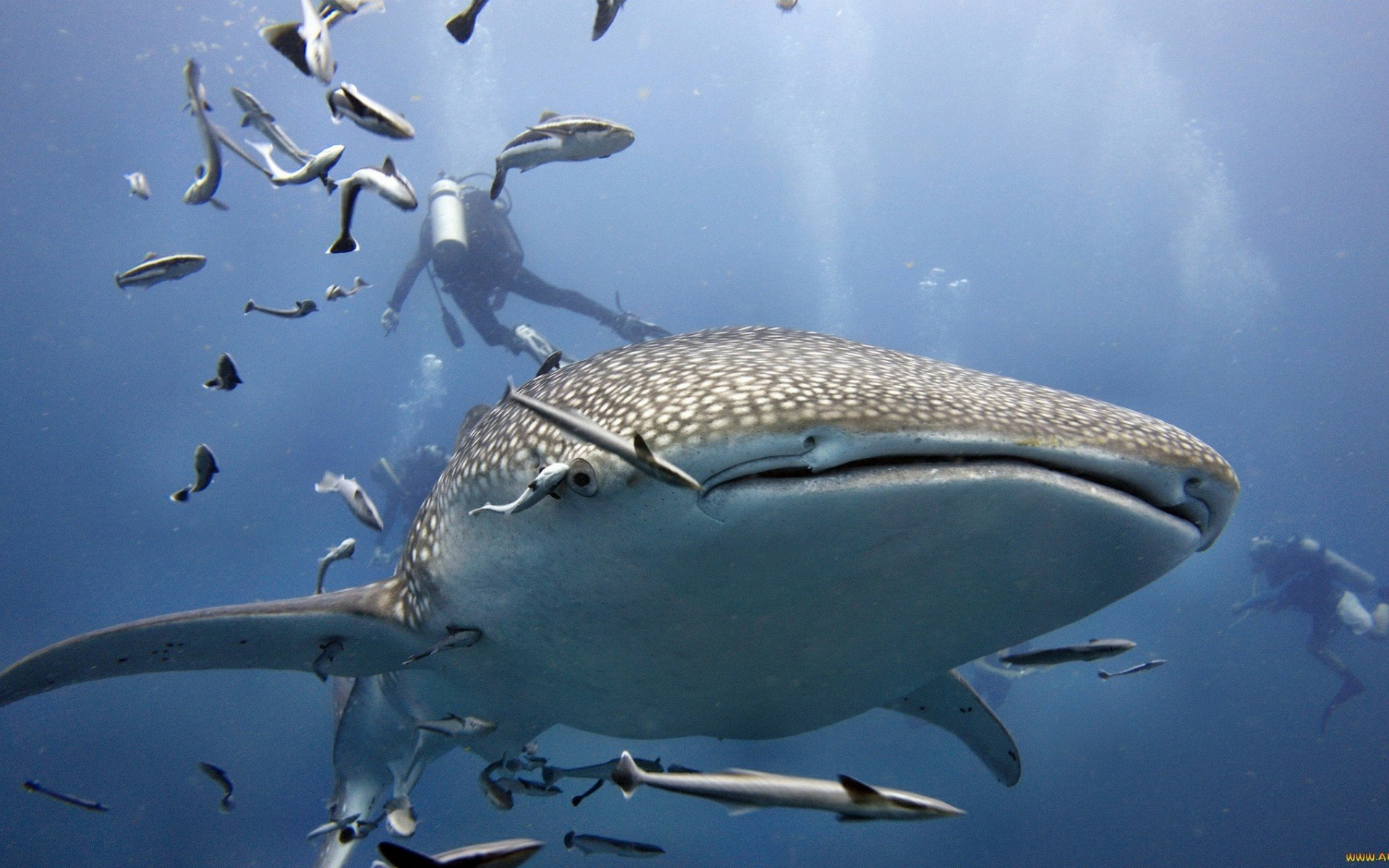 High resolution Whale Shark hd 1920x1200 background ID:134830 for PC