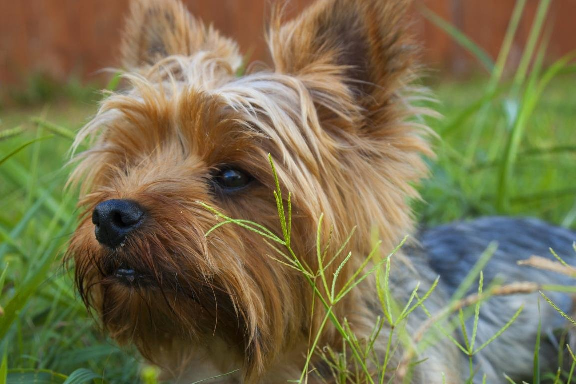 Download hd 1152x768 Yorkshire Terrier desktop background ID:110967 for free