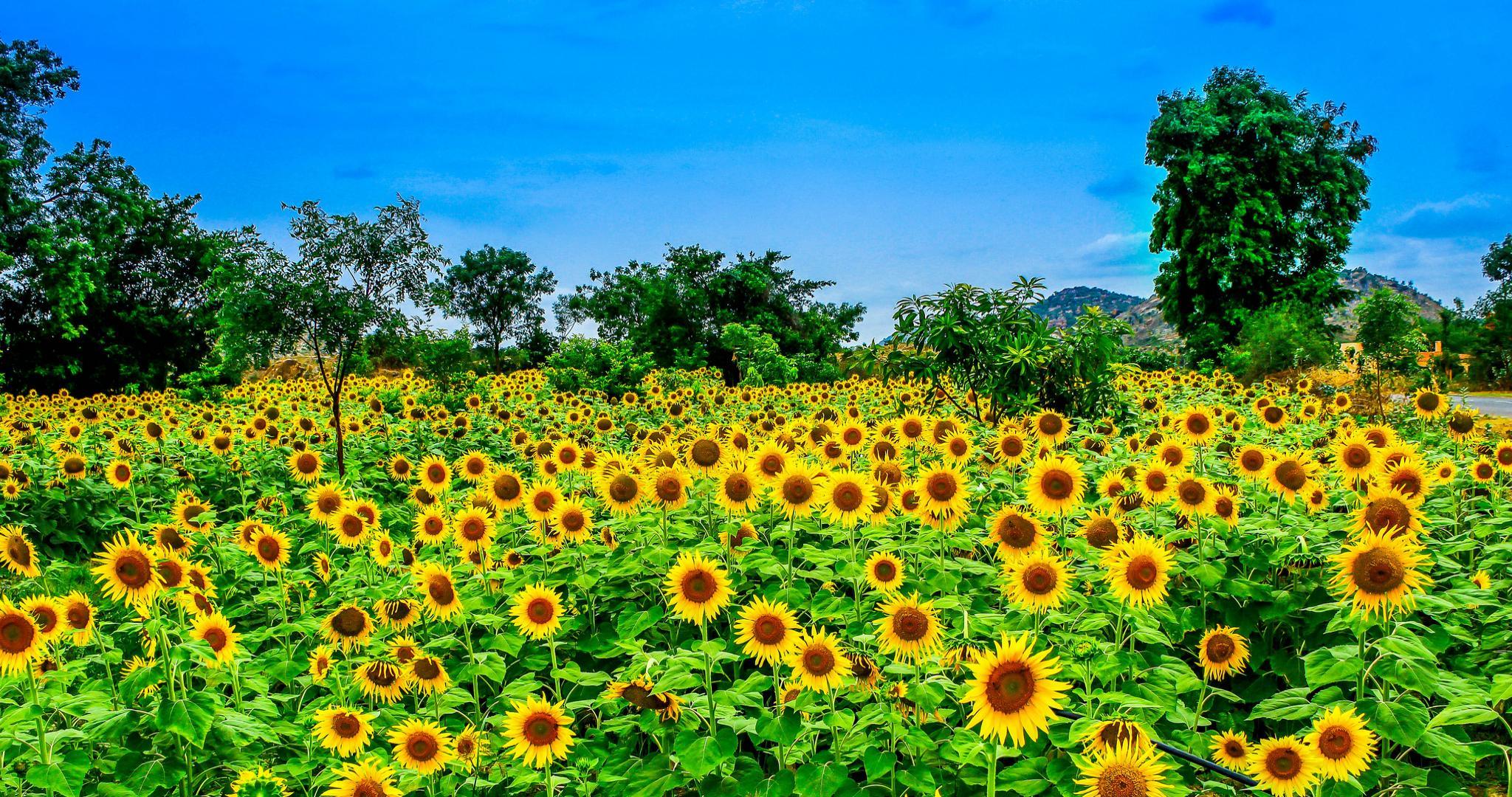 Yellow Flower Wallpapers Hd For Desktop Backgrounds
