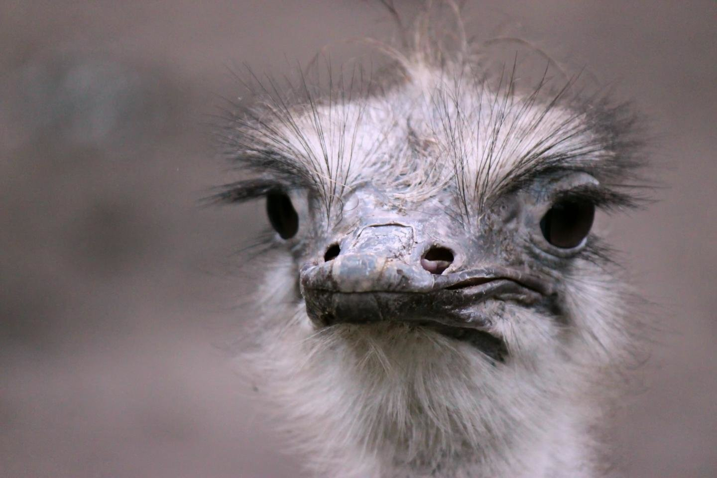 Best Ostrich wallpaper ID:290165 for High Resolution hd 1440x960 desktop