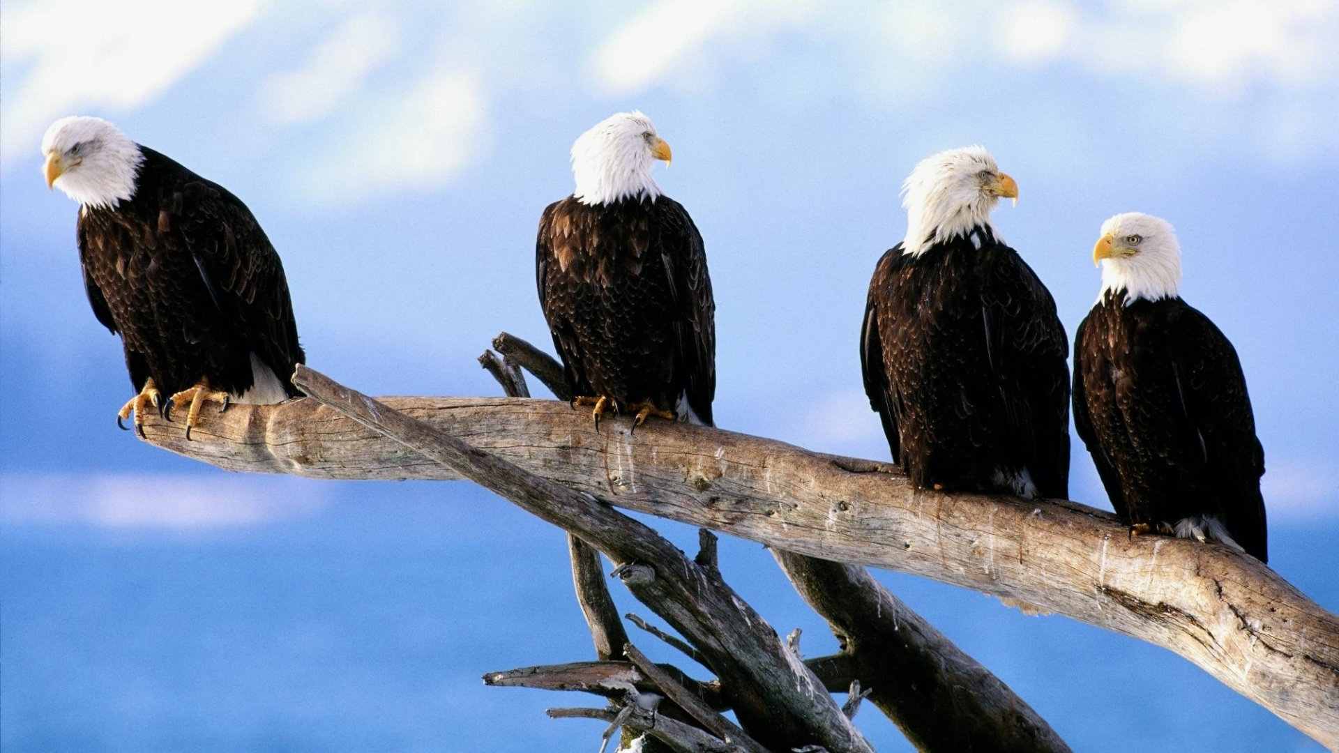 Free American Bald Eagle high quality wallpaper ID:68754 for full hd PC