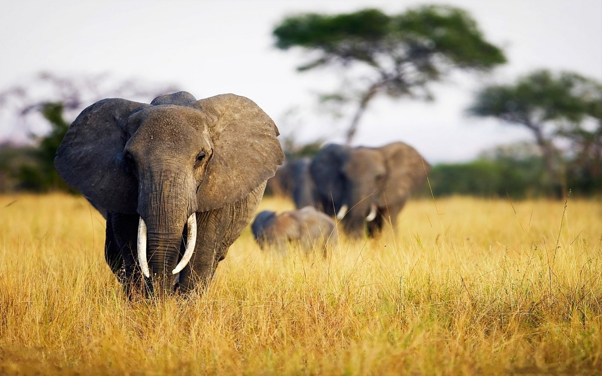 High resolution Elephant hd 1920x1200 wallpaper ID:132809 for PC