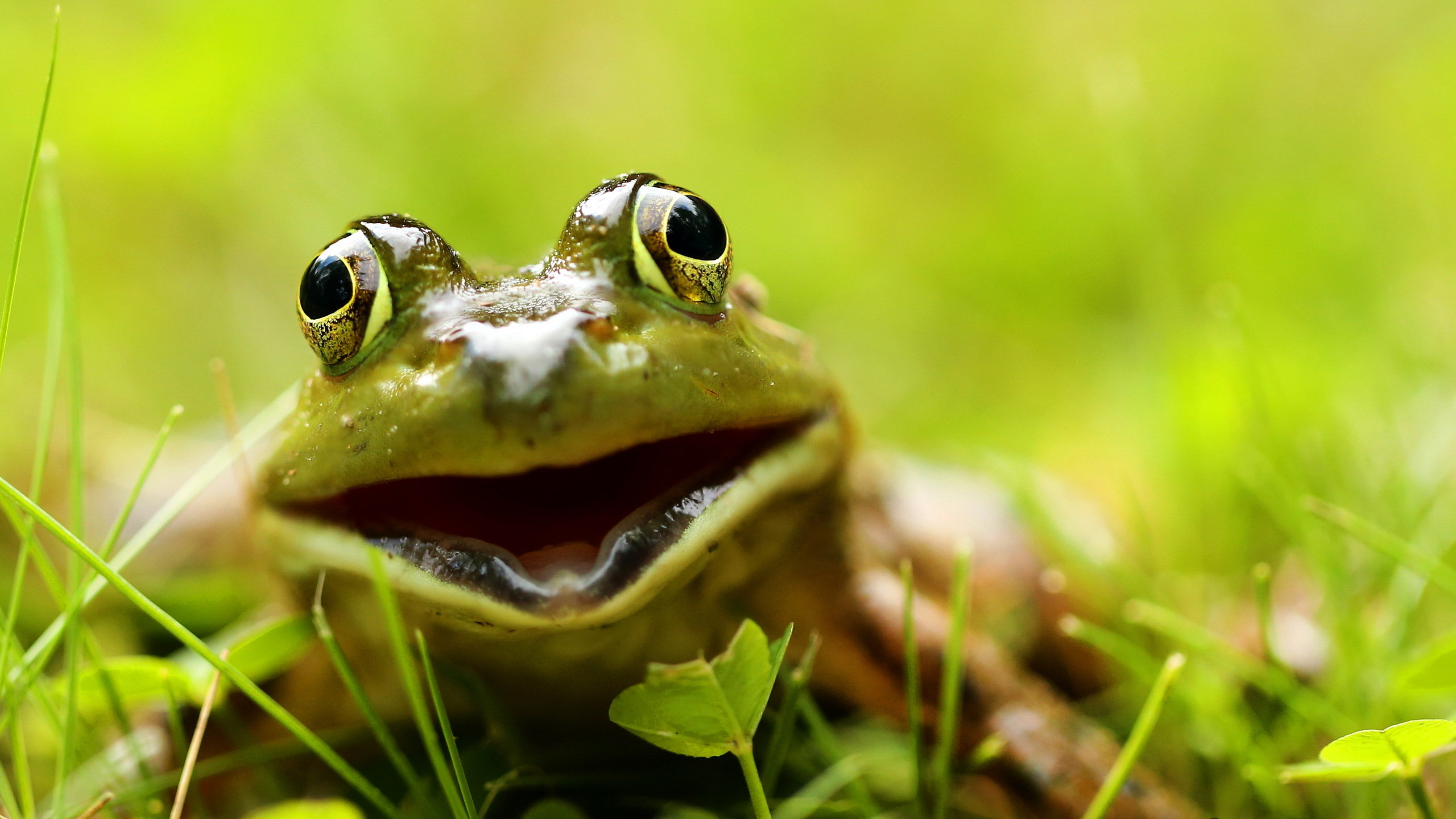 Free Frog high quality wallpaper ID:328842 for hd 2560x1440 computer