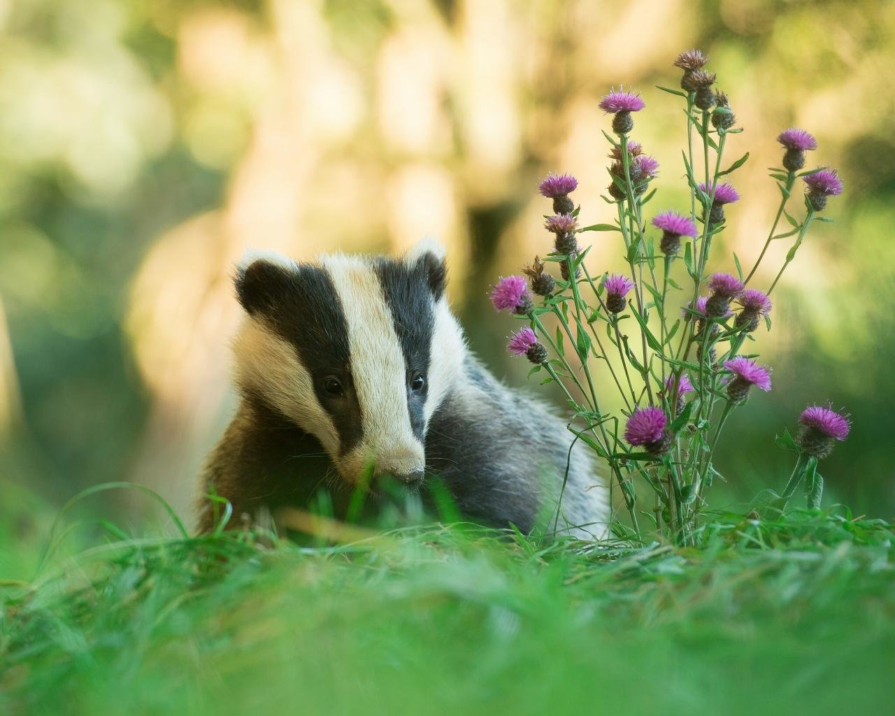 Awesome Badger free background ID:142317 for hd 1280x1024 PC