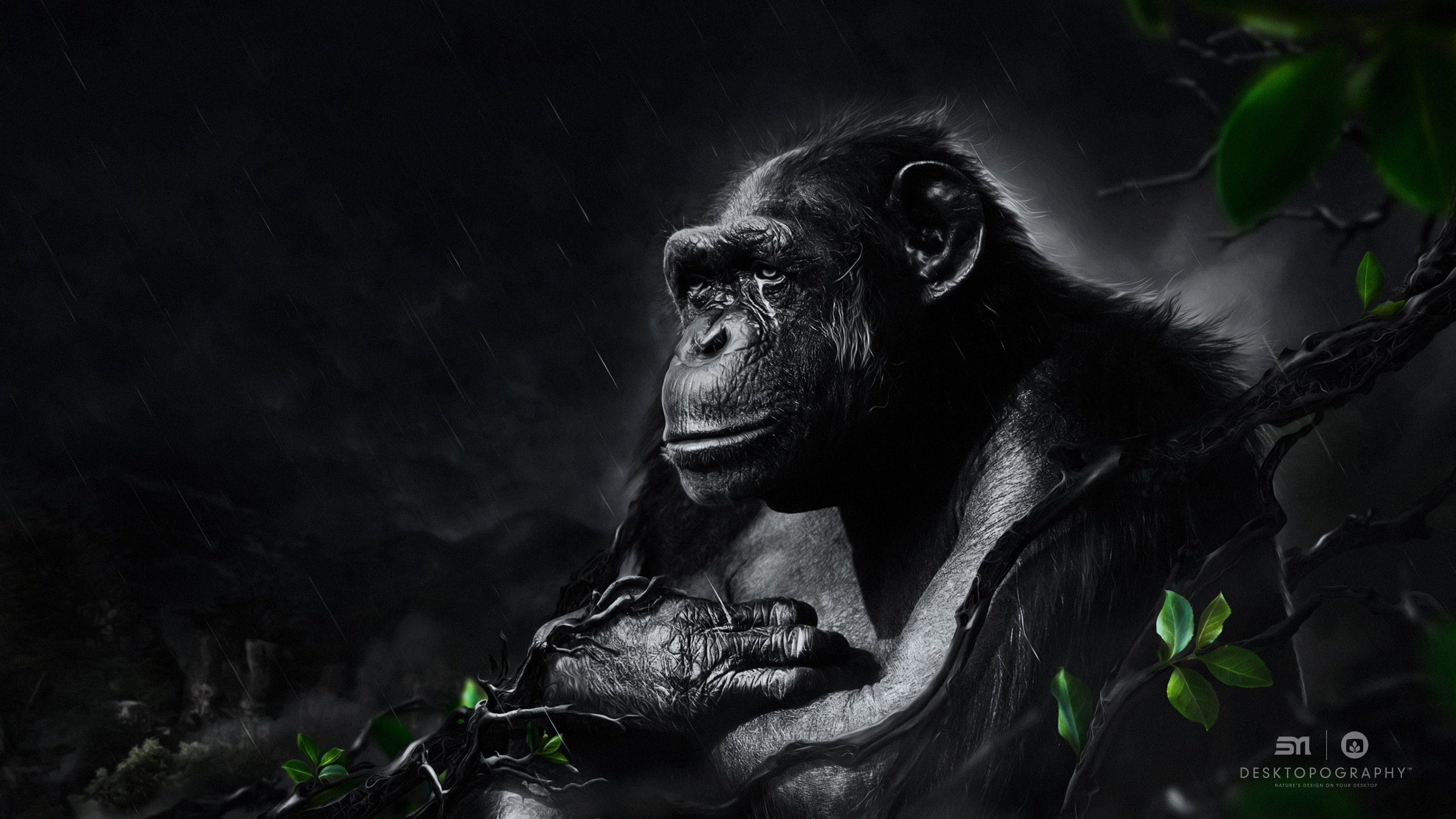 High resolution Chimpanzee hd 2560x1440 wallpaper ID:24606 for desktop