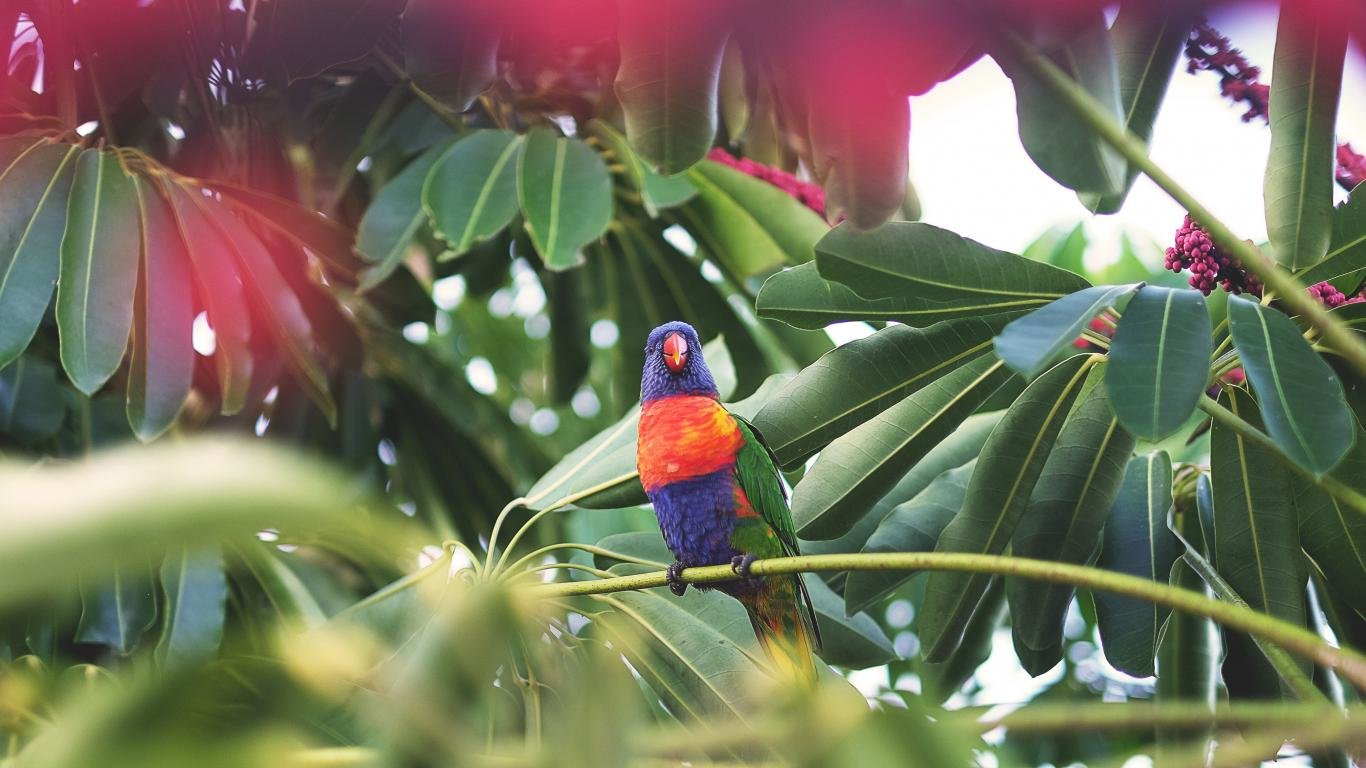 Free download Rainbow Lorikeet wallpaper ID:10171 laptop for PC