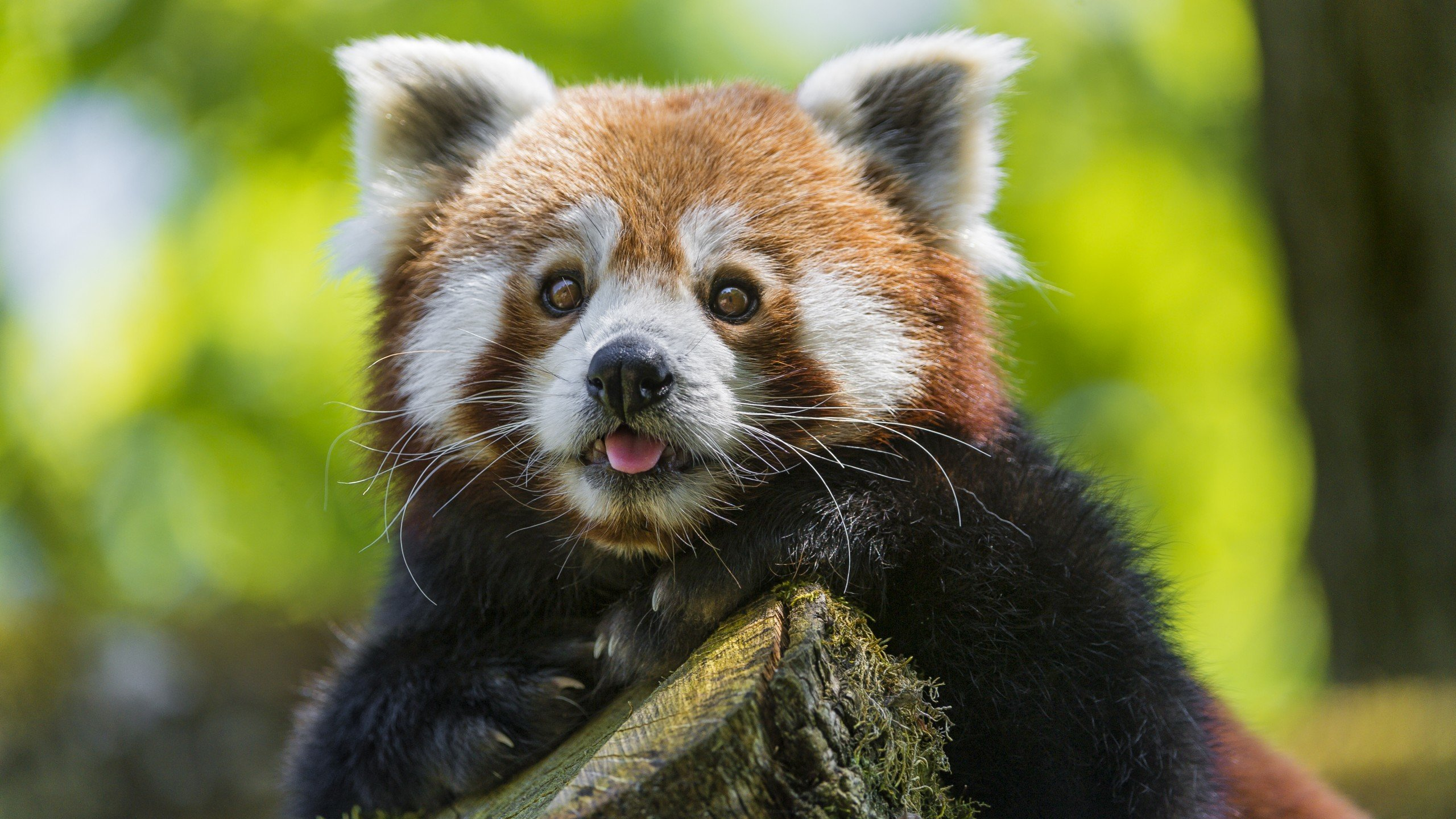 Best Red Panda background ID:64029 for High Resolution hd 2560x1440 PC