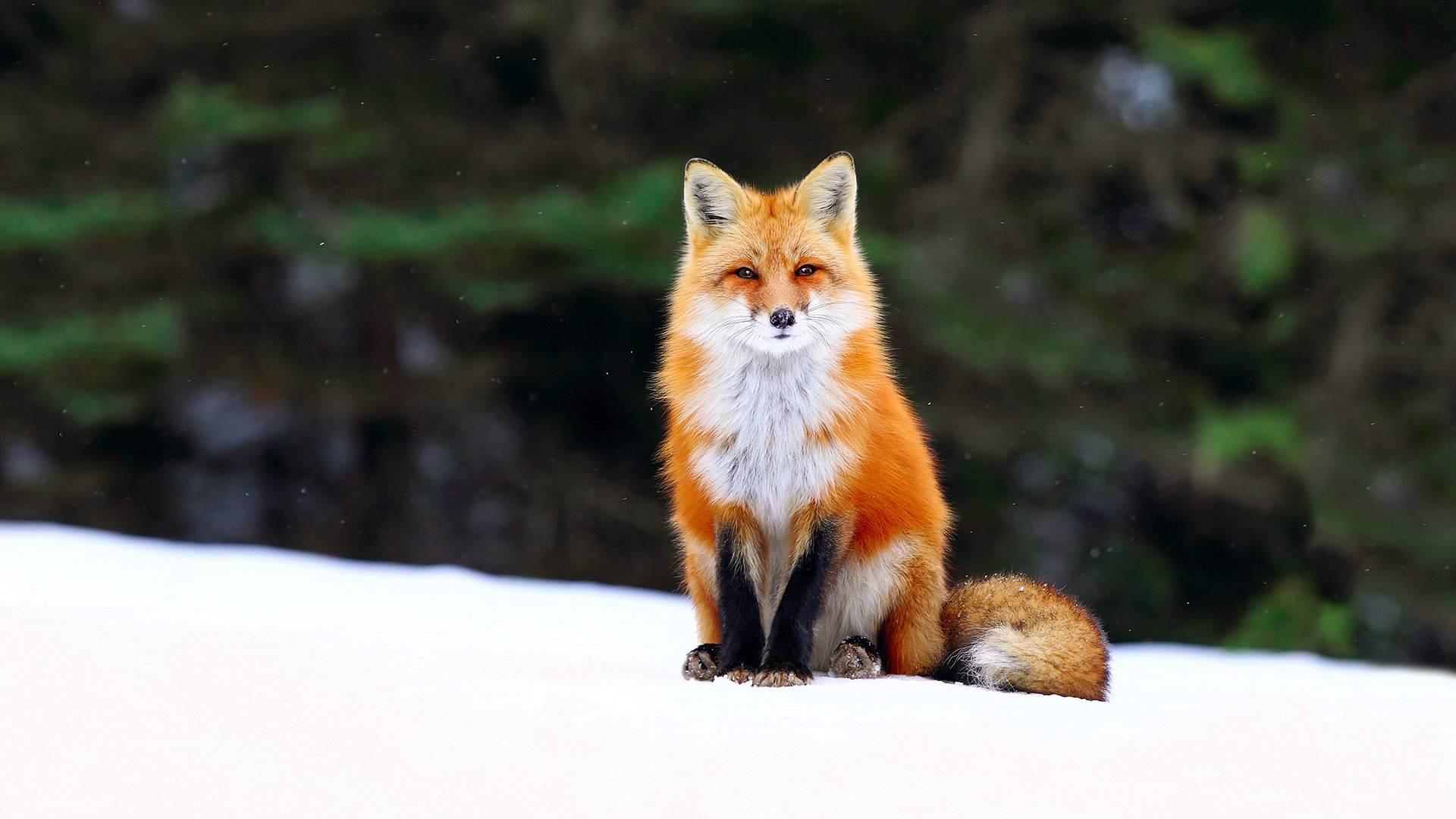 Awesome Fox free background ID:58789 for full hd 1080p desktop