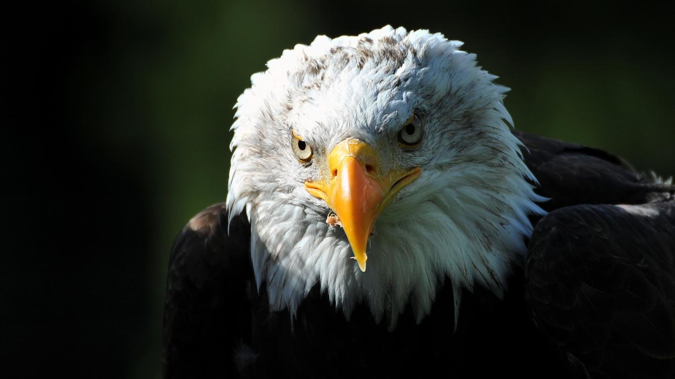 Awesome American Bald Eagle free wallpaper ID:68753 for 1366x768 laptop PC