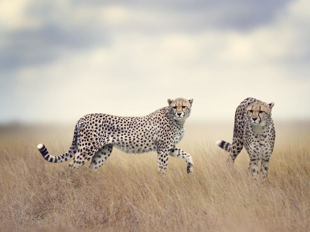 High resolution Cheetah hd 1024x768 background ID:161718 for PC