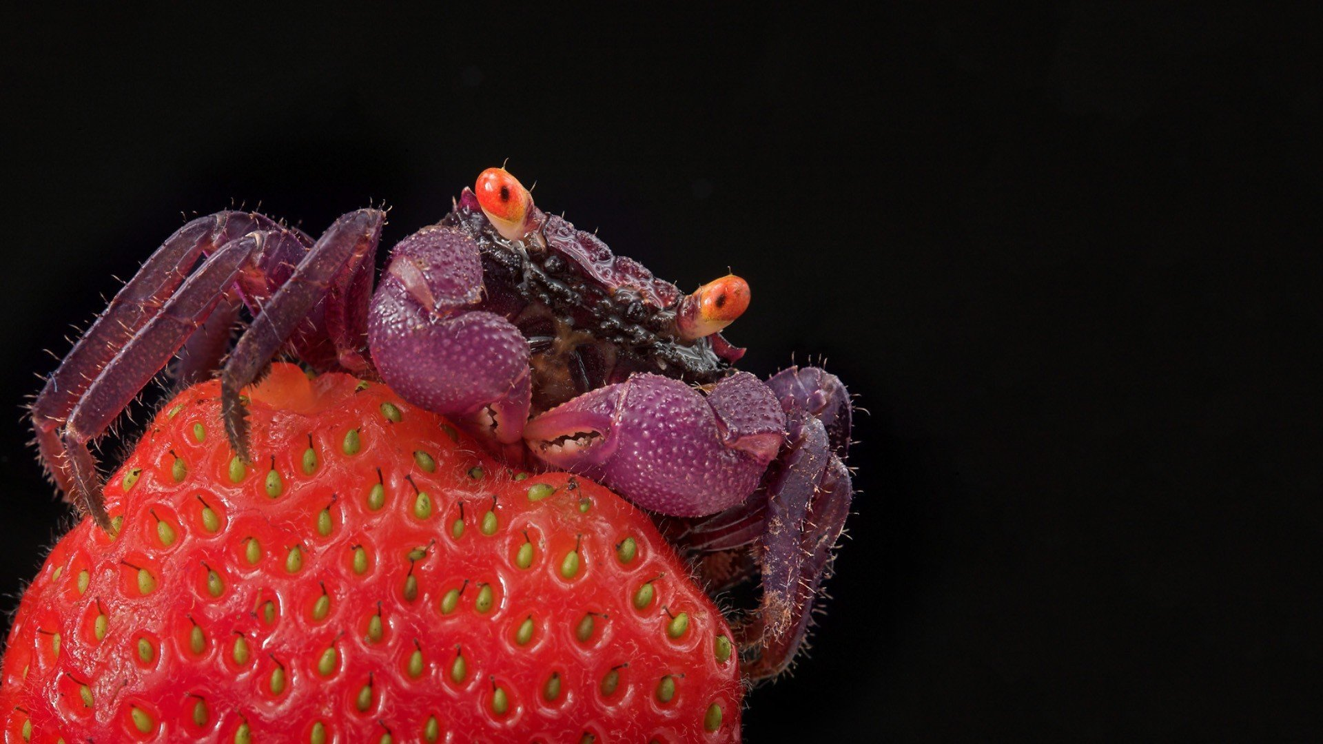 Download full hd 1080p Crab computer wallpaper ID:294299 for free