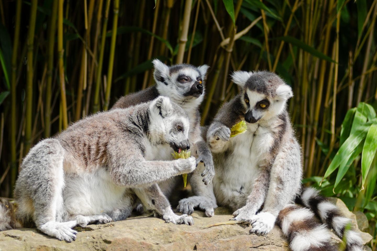 Download hd 1440x960 Lemur desktop background ID:53209 for free