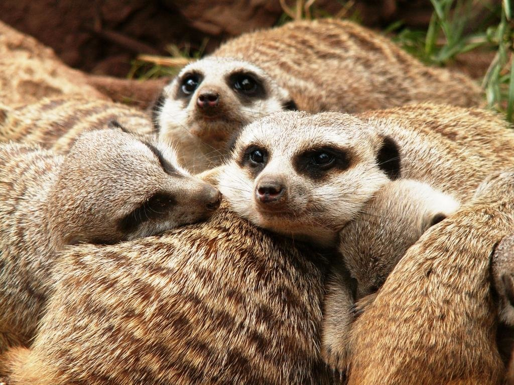 Best Meerkat wallpaper ID:164608 for High Resolution hd 1024x768 PC