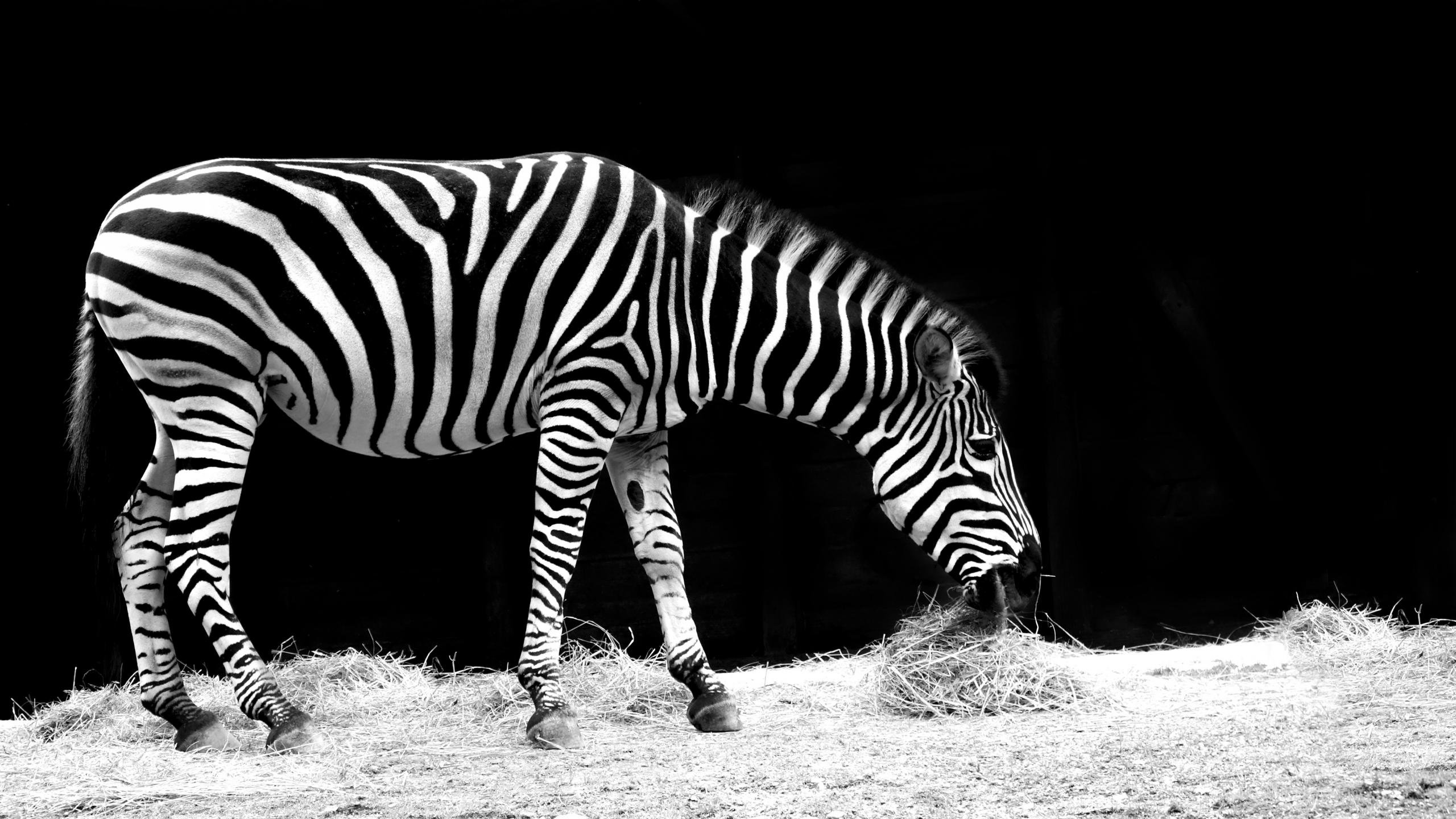 High resolution Zebra hd 2560x1440 wallpaper ID:73775 for computer