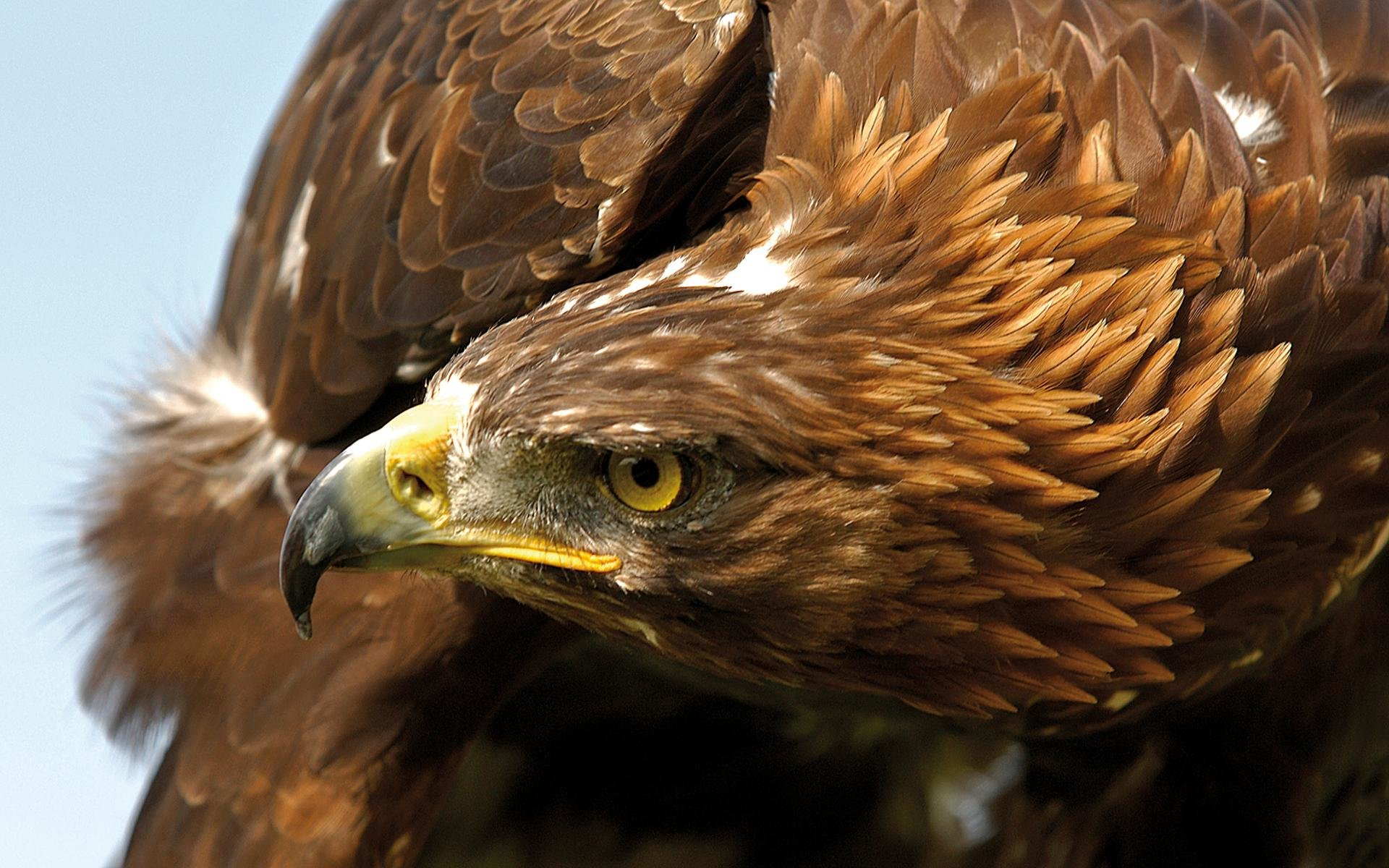 Free Golden Eagle high quality background ID:299818 for hd 1920x1200 desktop
