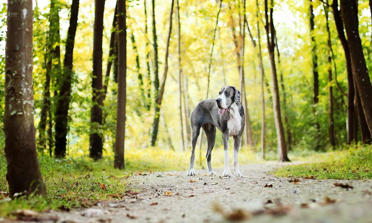 Best Great Dane background ID:303771 for High Resolution hd 1280x768 PC