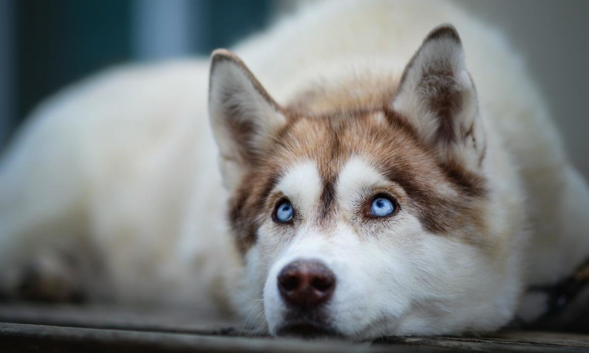 Download hd 1200x720 Siberian Husky PC wallpaper ID:155249 for free