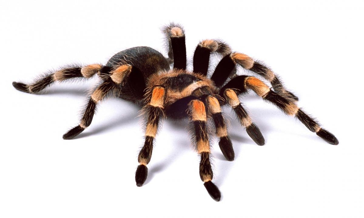 Download hd 1200x720 Tarantula PC wallpaper ID:409547 for free