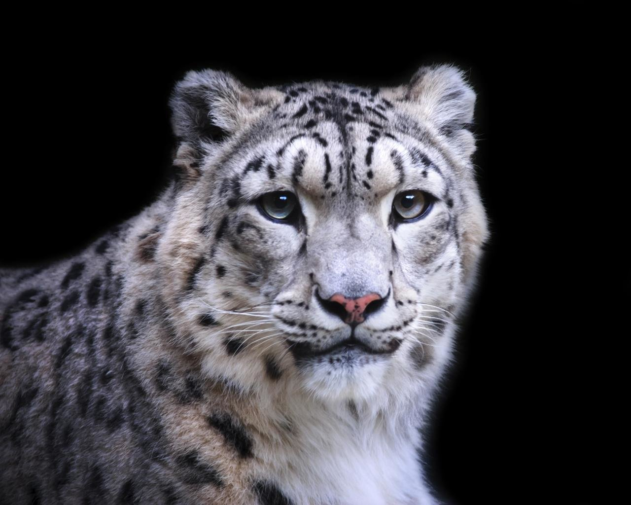Awesome Snow Leopard free background ID:34387 for hd 1280x1024 PC