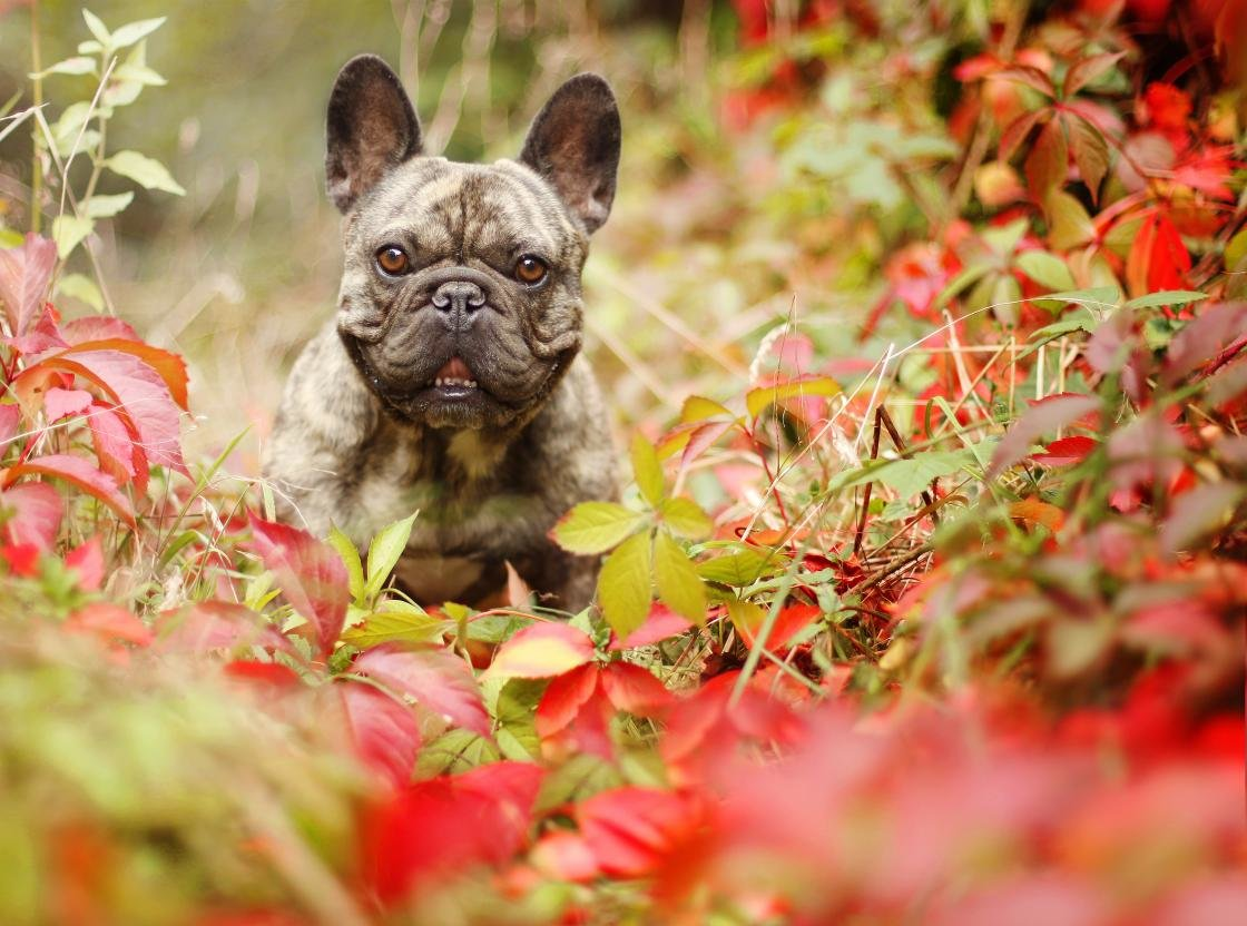 Awesome French Bulldog free wallpaper ID:28704 for hd 1120x832 computer