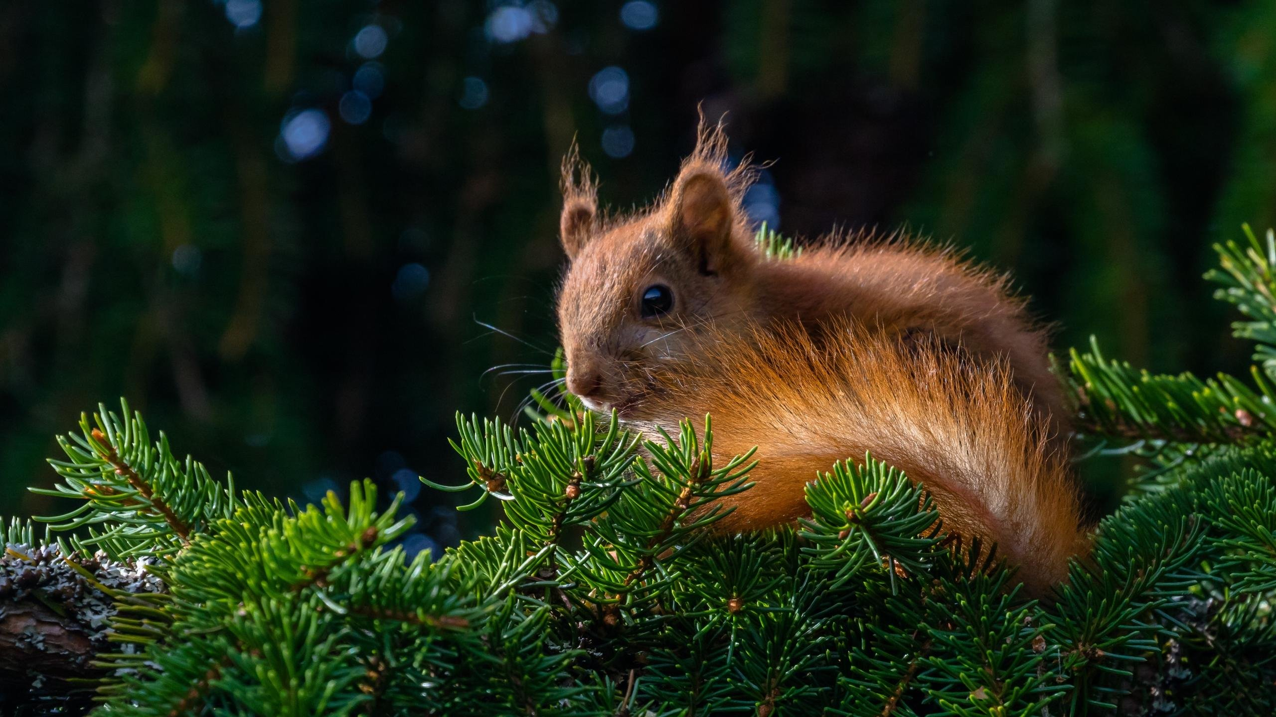High resolution Squirrel hd 2560x1440 wallpaper ID:311814 for computer
