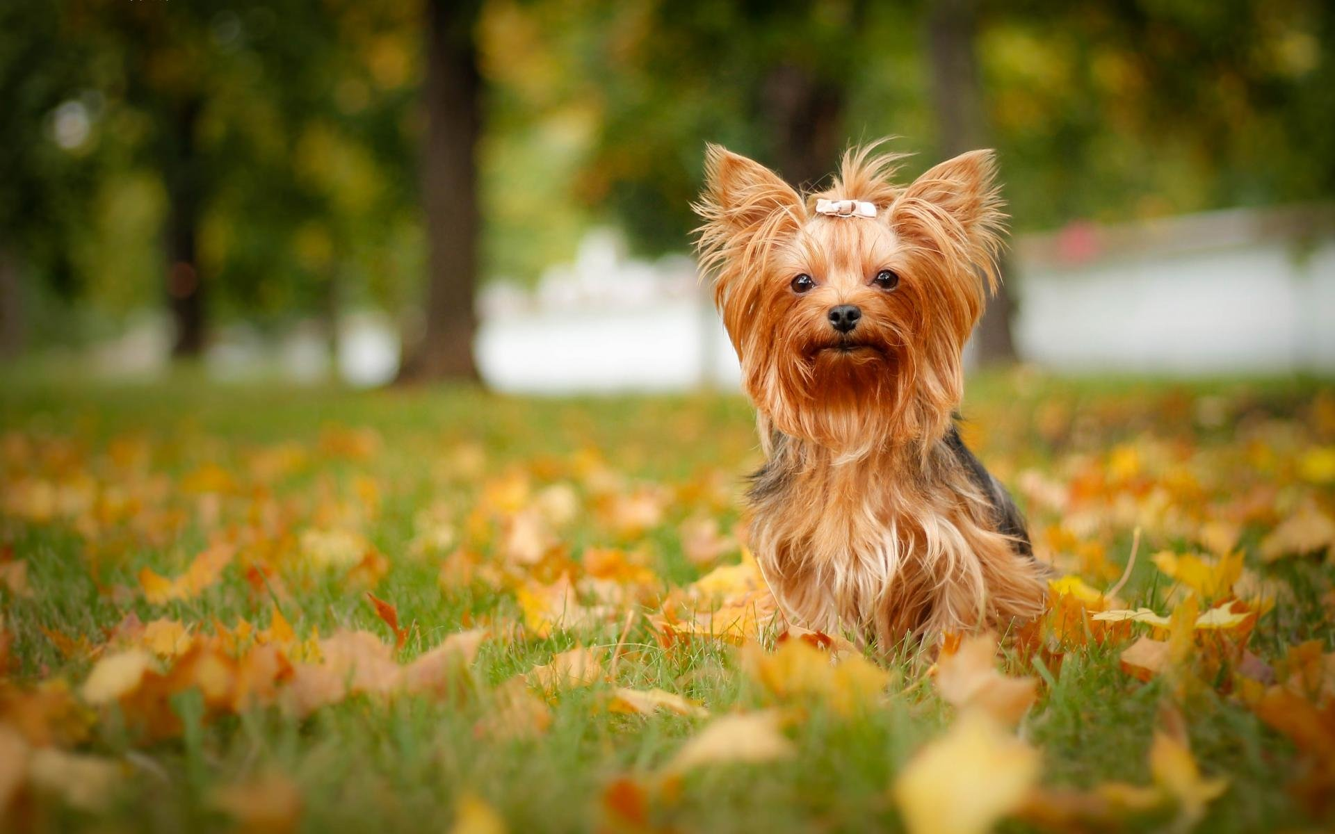 Free download Yorkshire Terrier wallpaper ID:110973 hd 1920x1200 for computer