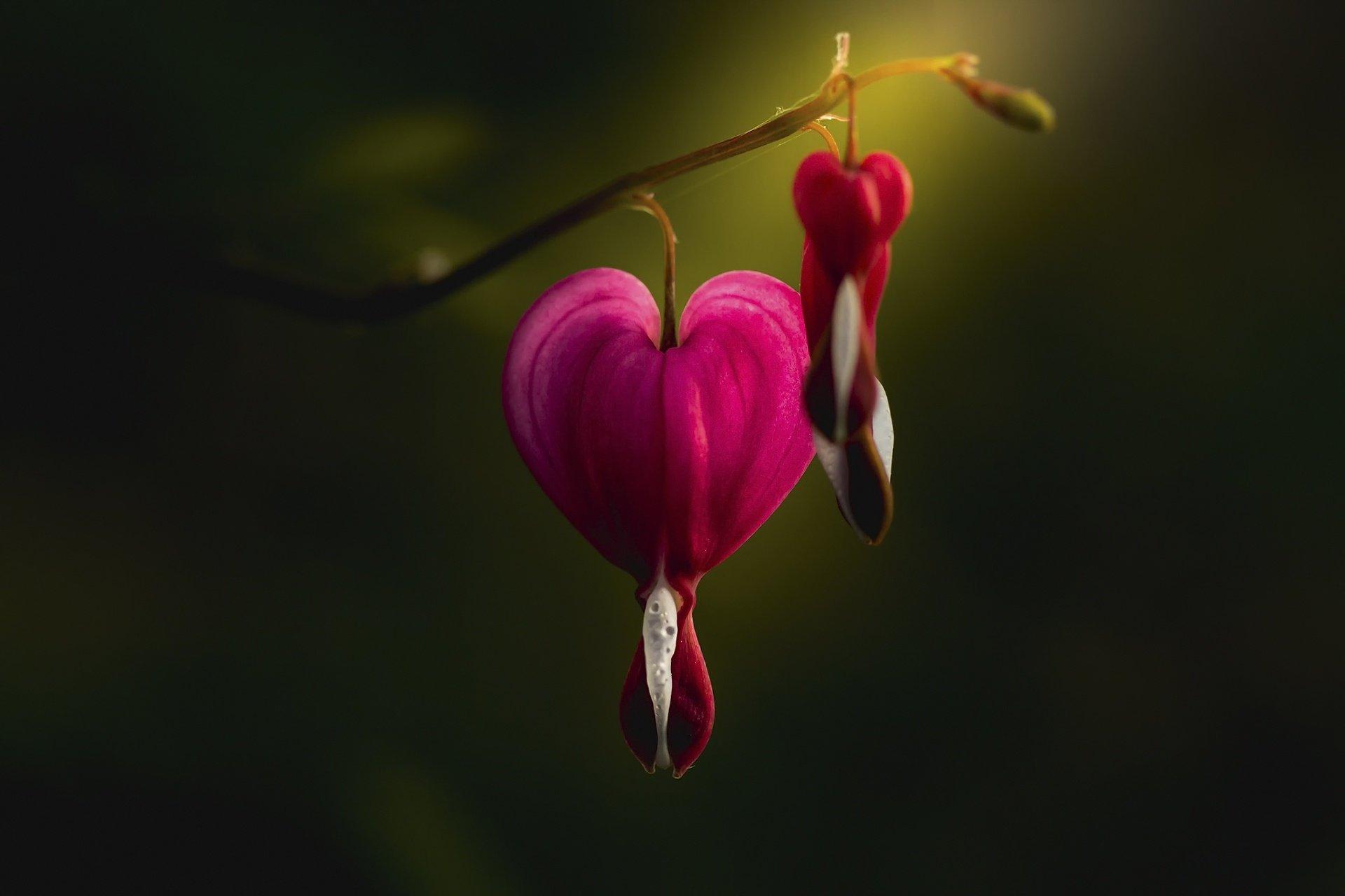 Bleeding Heart Wallpaper