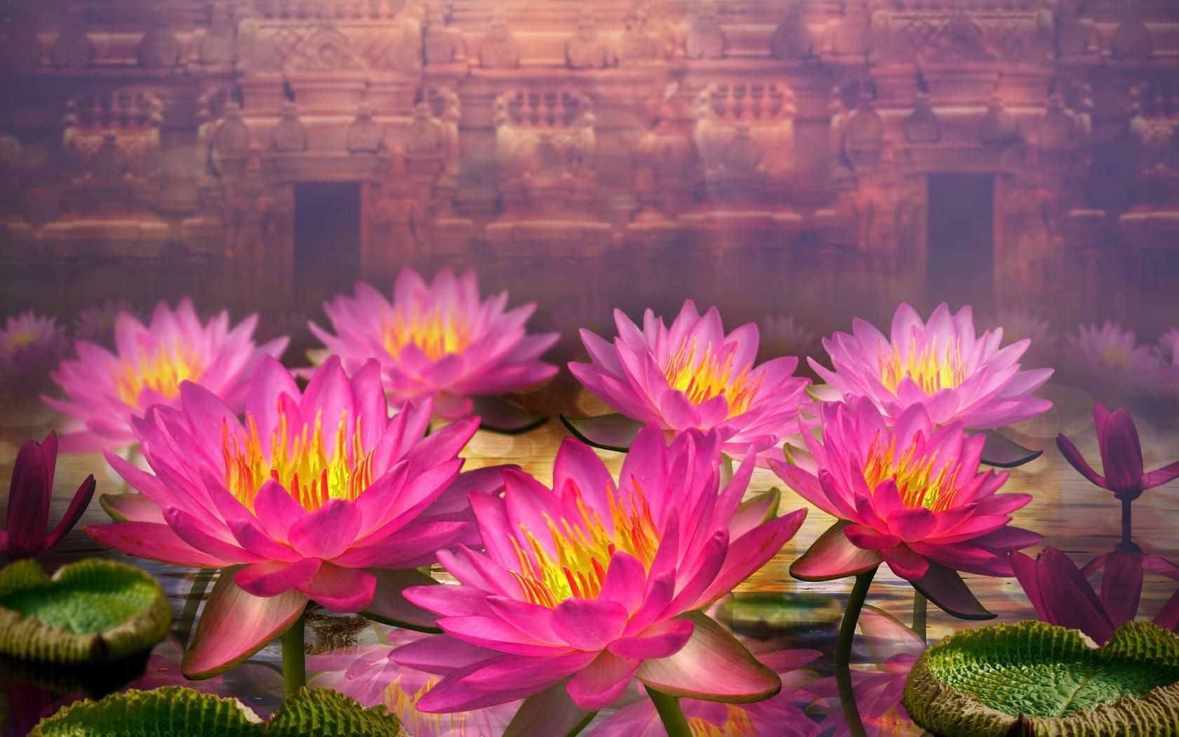 Lotus Flower Wallpapers 1680x1050 Desktop Backgrounds