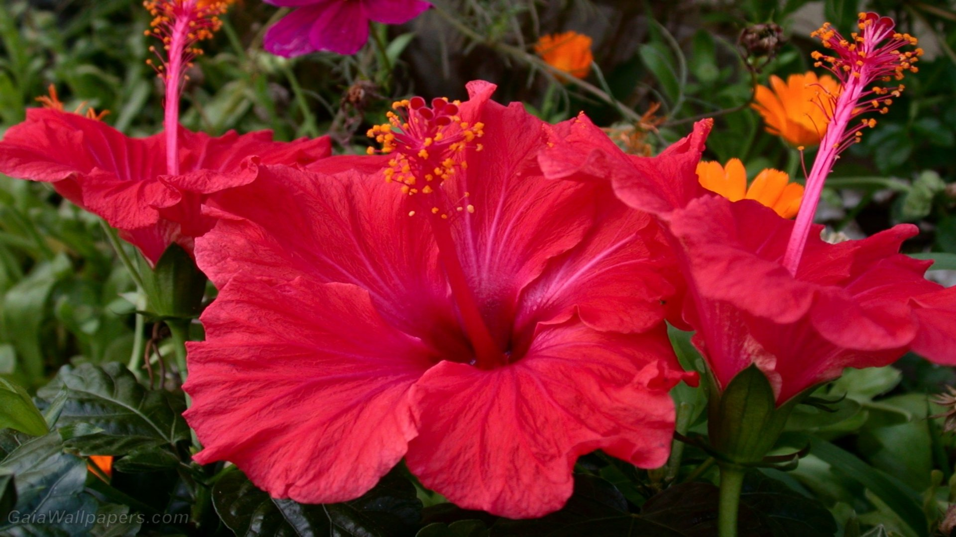 Image result for Hibiscus Wallpapers 1920x1080 butterfly