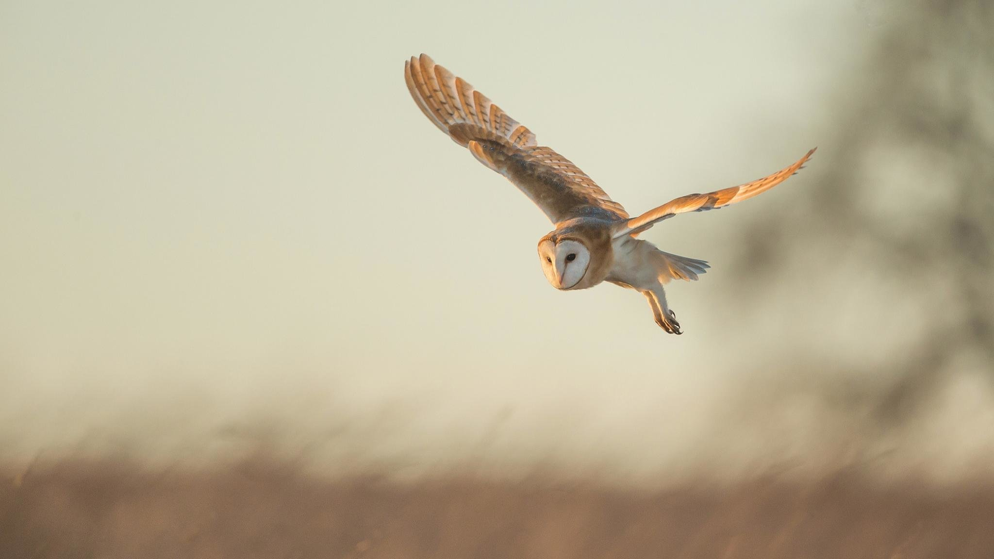 Download hd 2048x1152 Barn Owl computer background ID:81566 for free