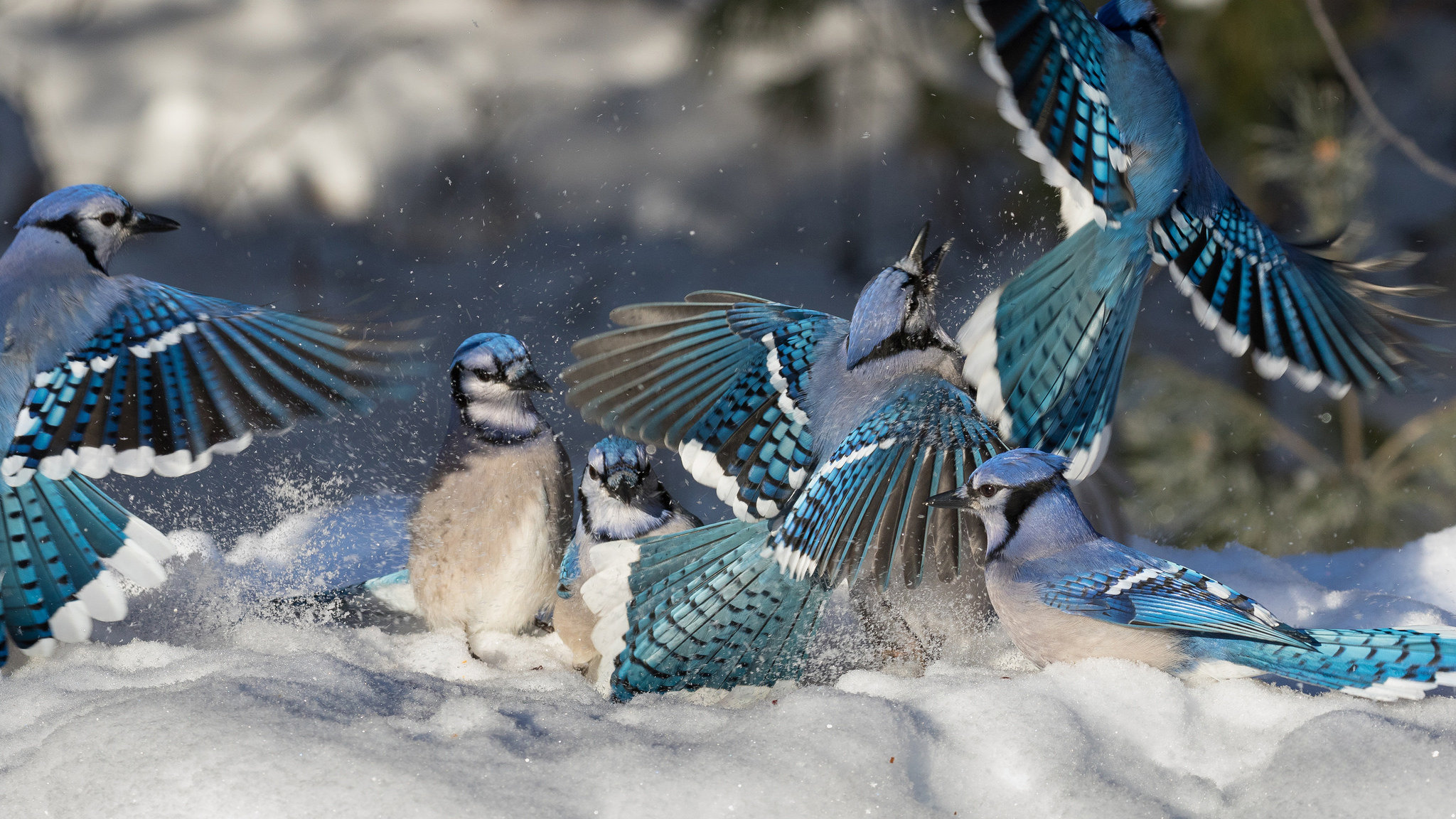 Download hd 2048x1152 Blue Jay desktop background ID:158378 for free