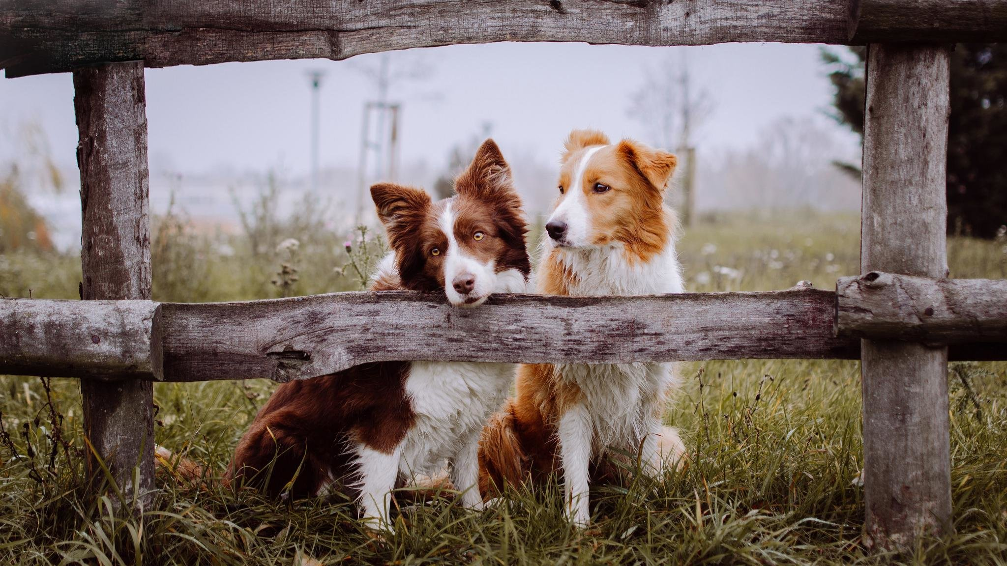 Free Border Collie high quality background ID:165876 for hd 2048x1152 PC